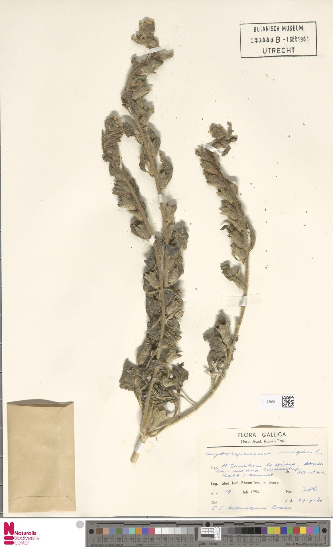 U.1729501   Hyoscyamus niger L.