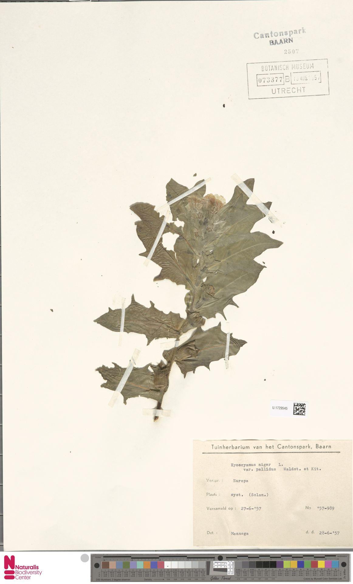 U.1729545 | Hyoscyamus niger L.