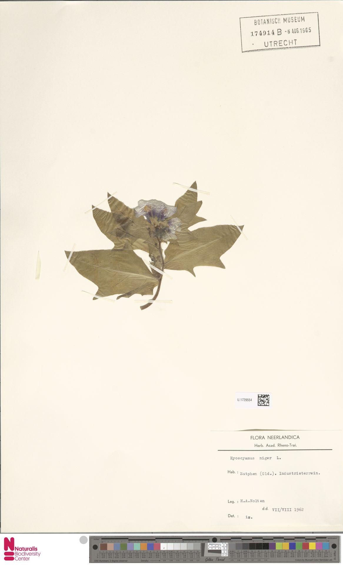 U.1729554 | Hyoscyamus niger L.
