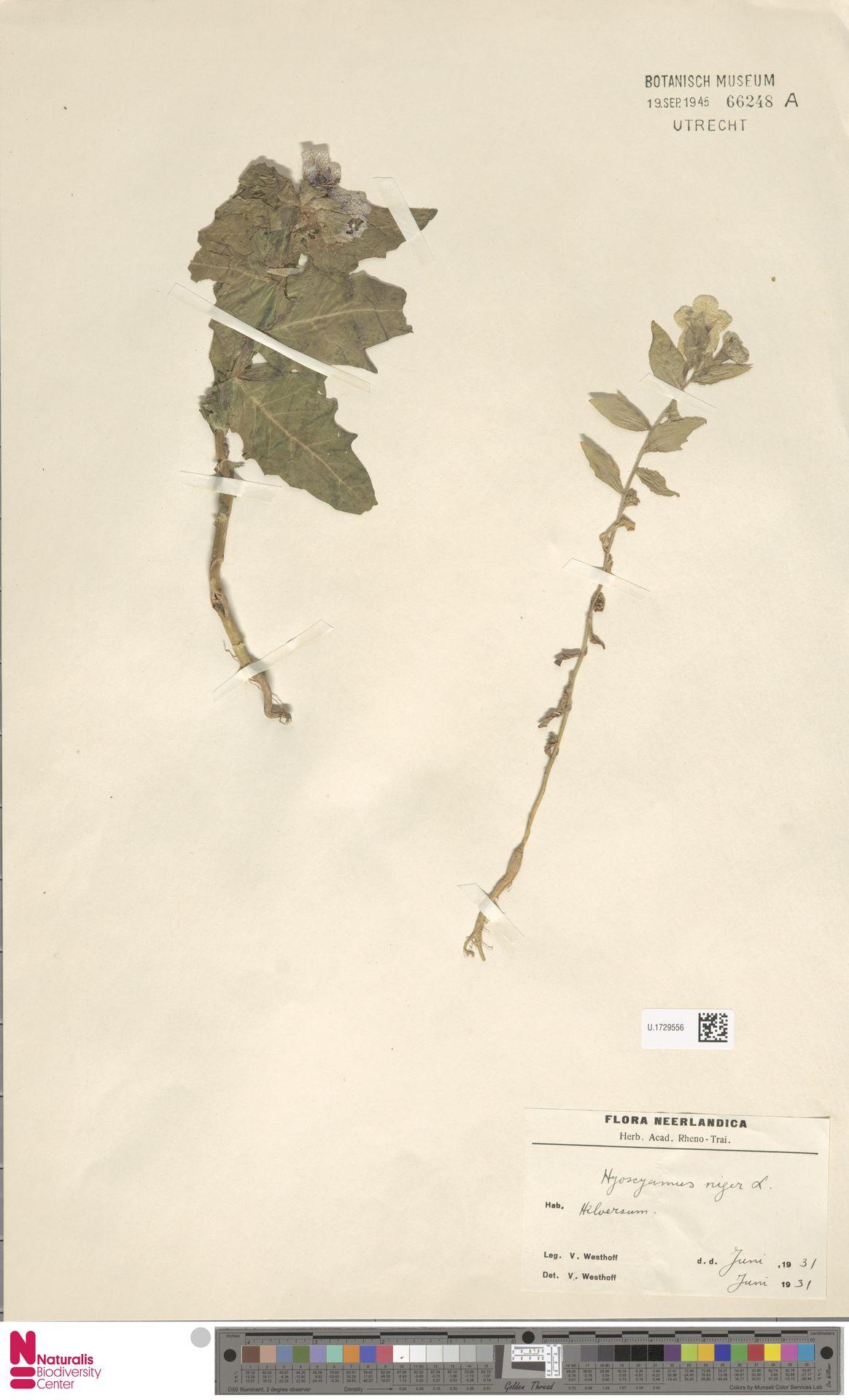 U.1729556   Hyoscyamus niger L.