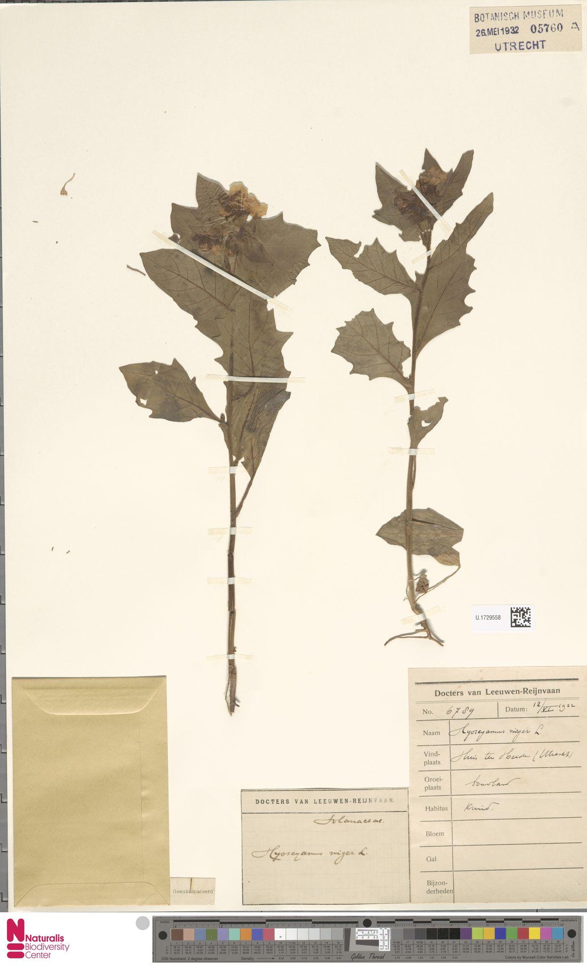 U.1729558 | Hyoscyamus niger L.