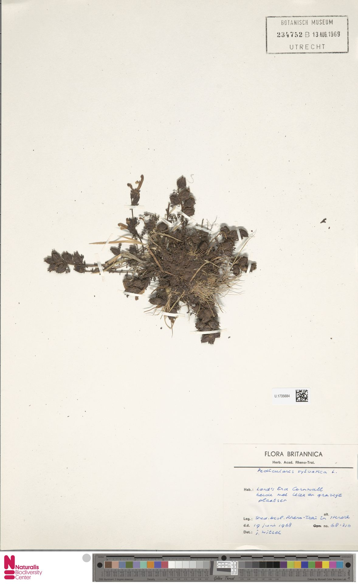 U.1735684   Pedicularis sylvatica L.