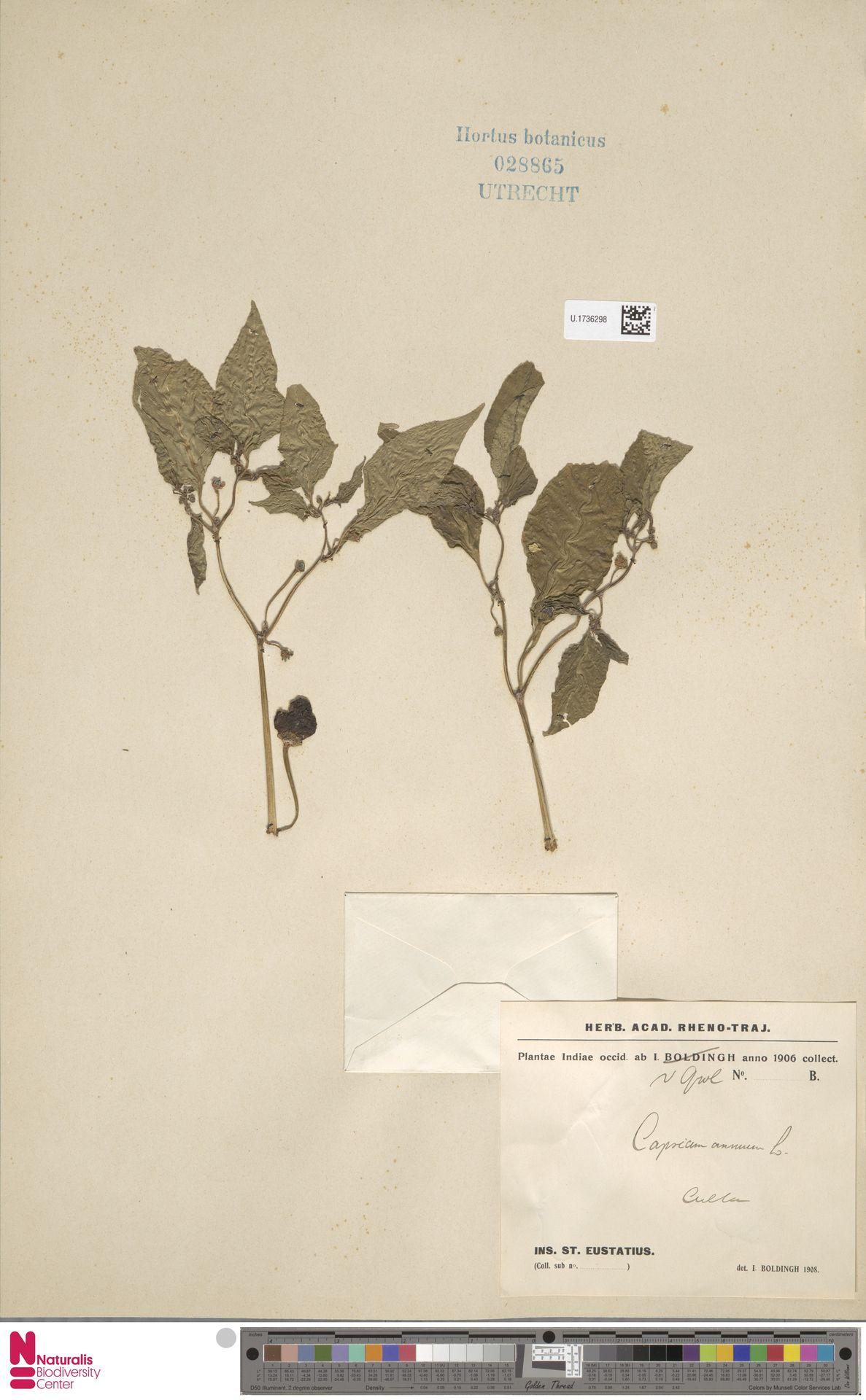 U.1736298 | Capsicum annuum L.