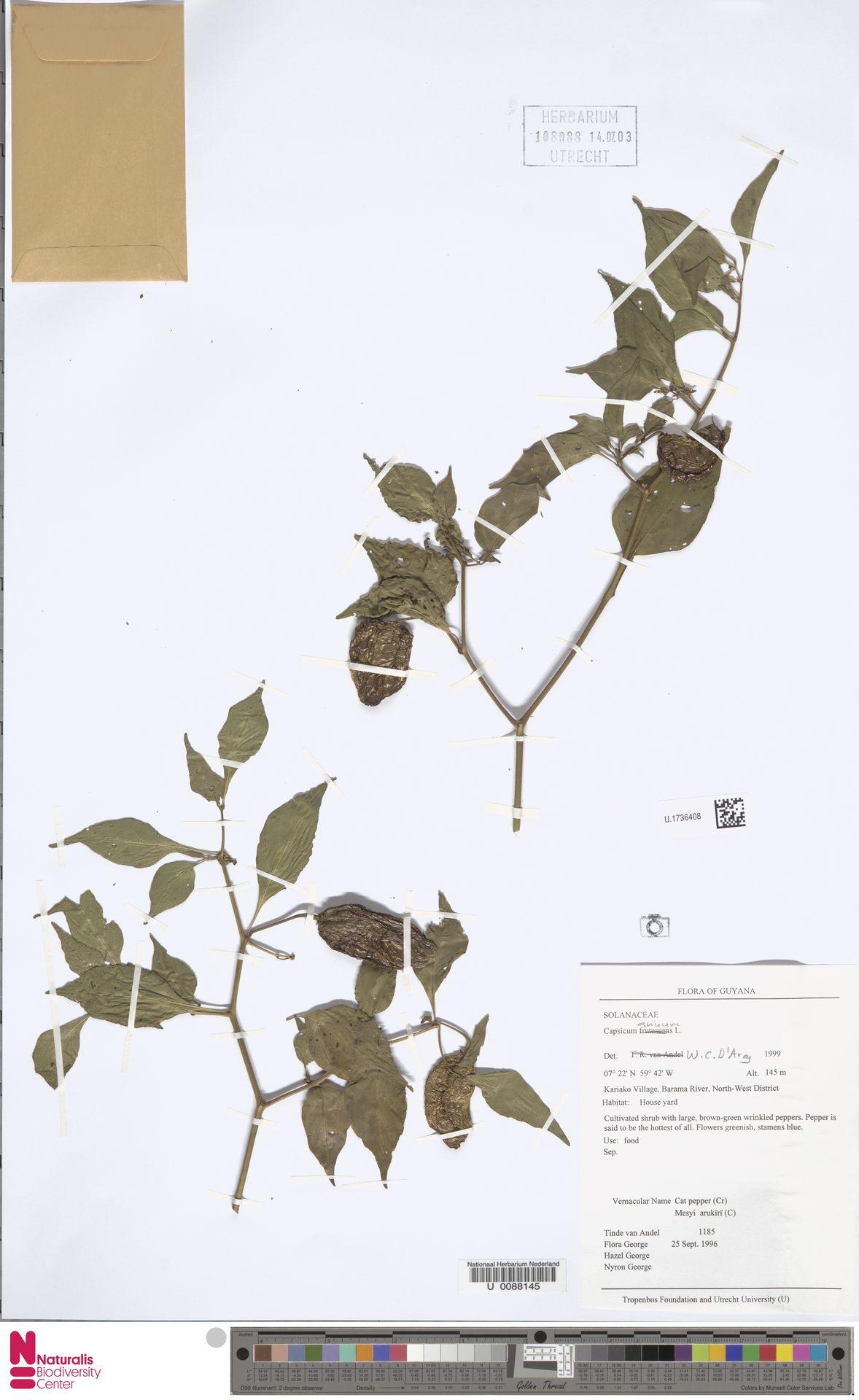 U.1736408 | Capsicum annuum L.
