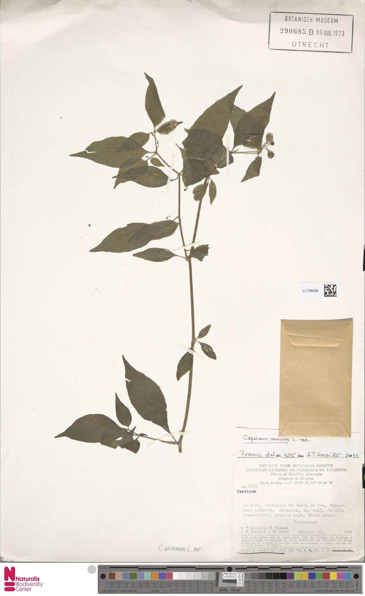 U.1736409   Capsicum annuum L.