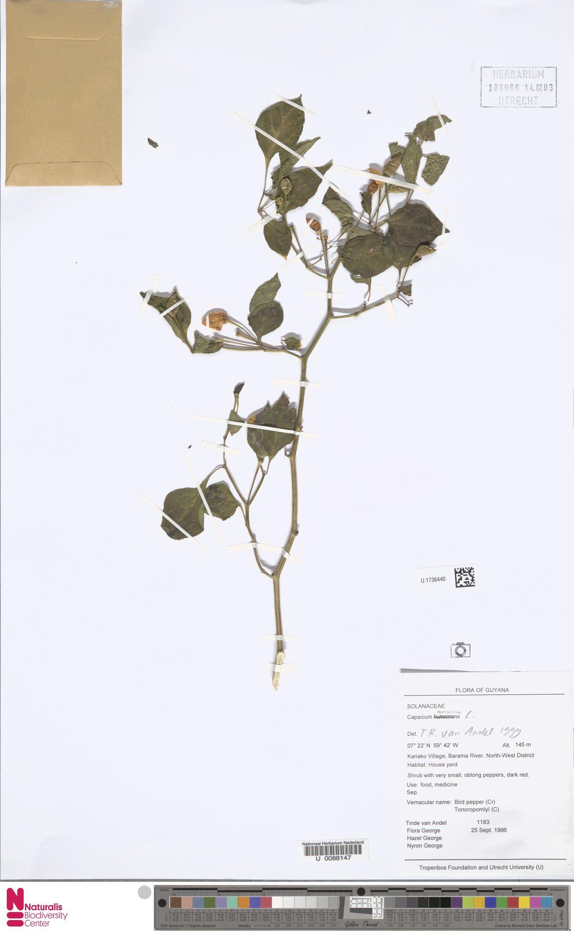 U.1736440 | Capsicum annuum L.