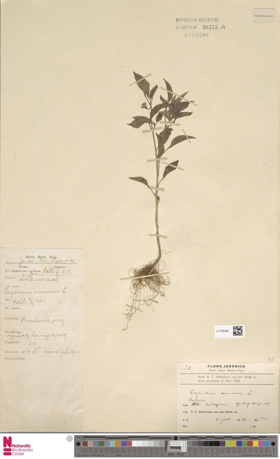 U.1736493 | Capsicum annuum L.