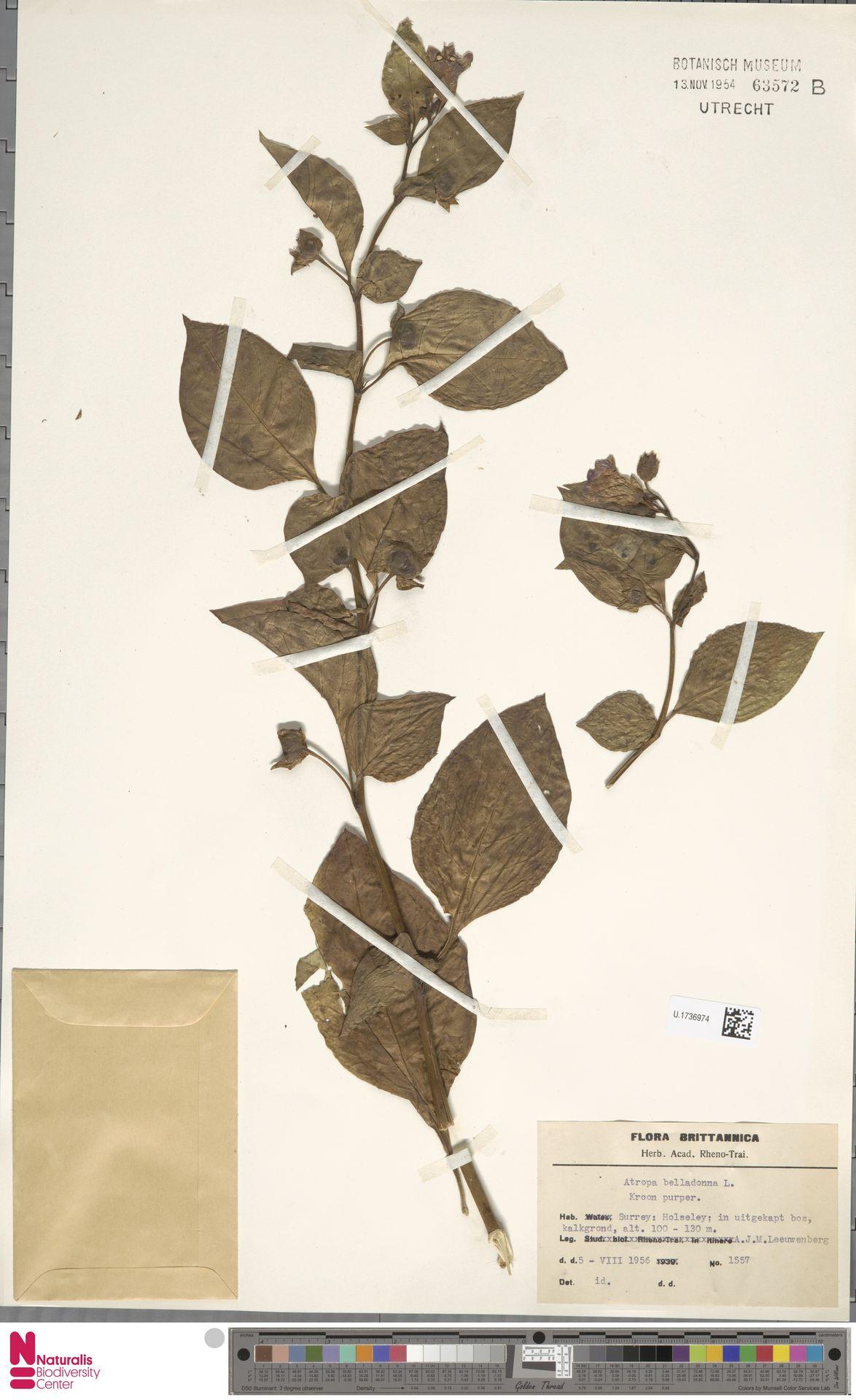 U.1736974 | Atropa belladonna L.
