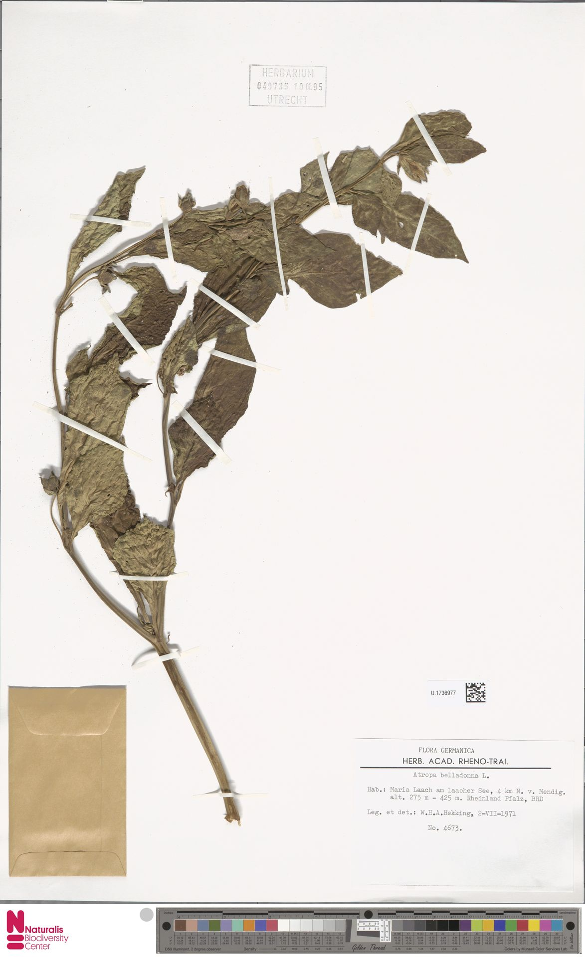 U.1736977 | Atropa belladonna L.