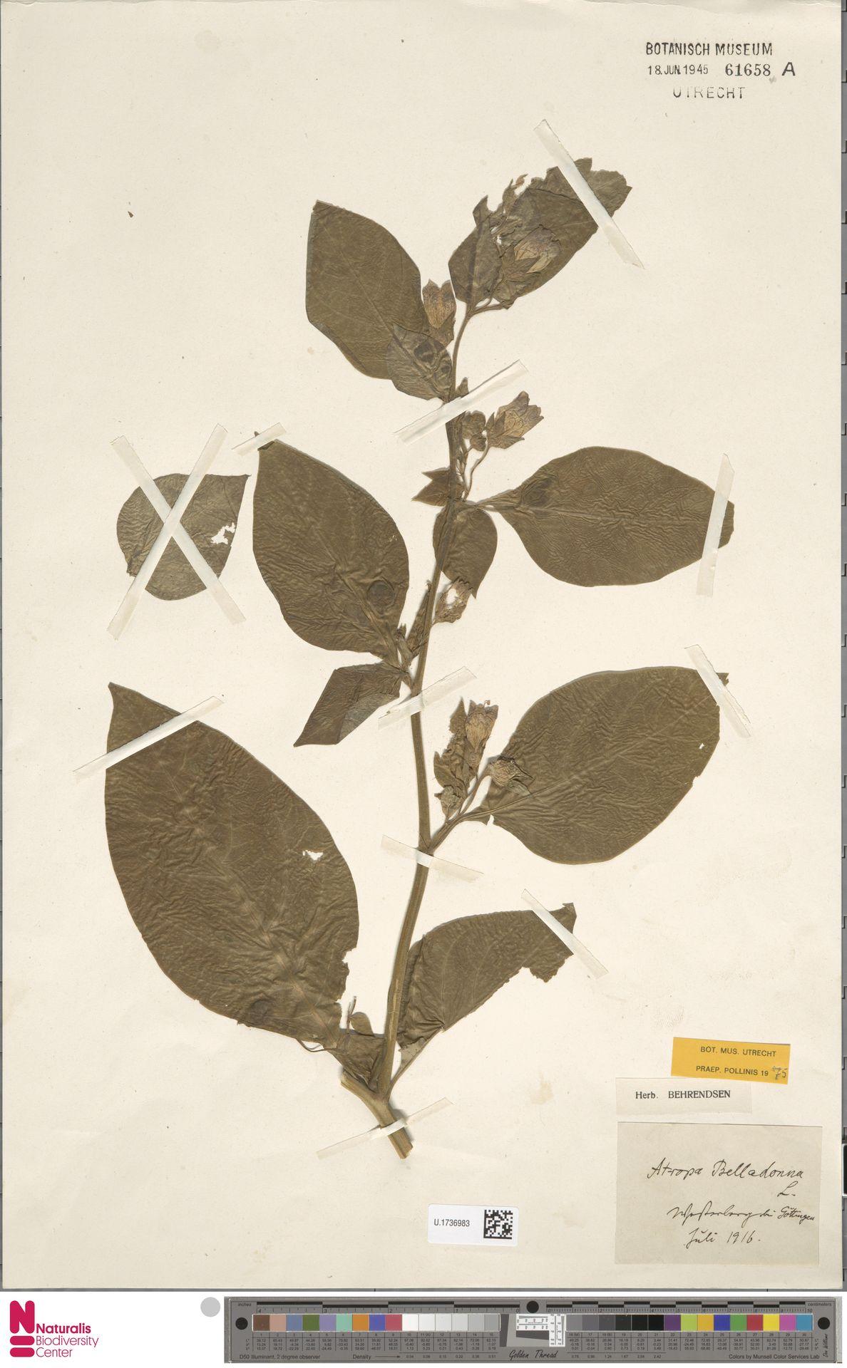 U.1736983 | Atropa belladonna L.