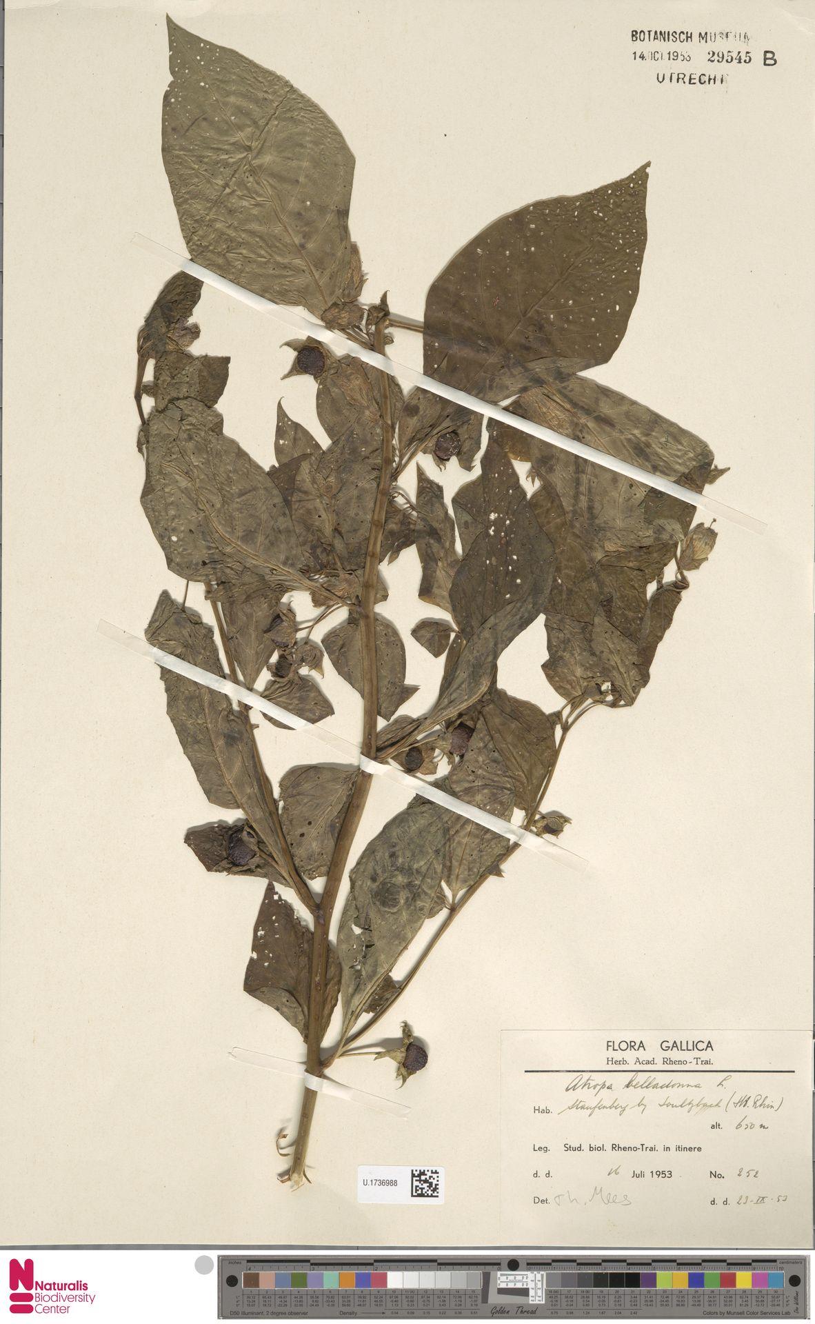 U.1736988 | Atropa belladonna L.