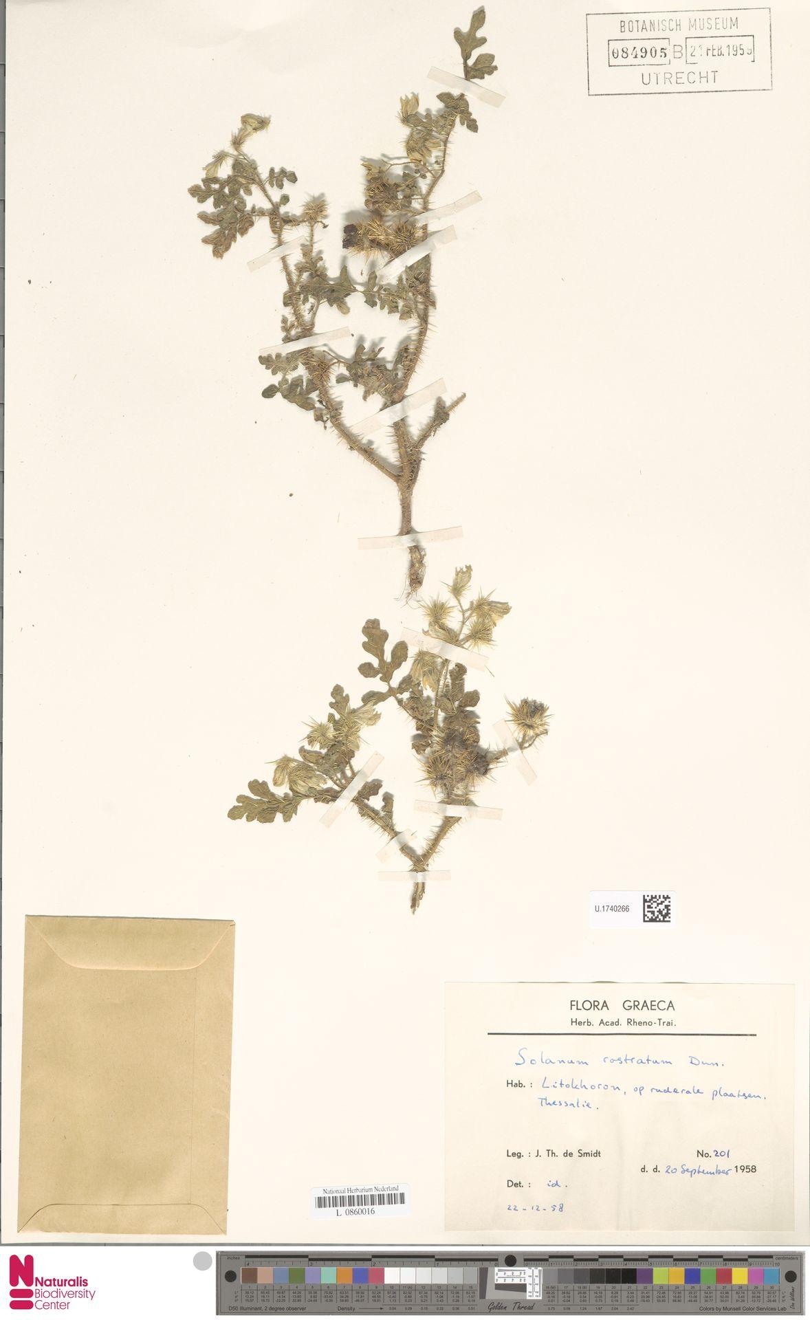 U.1740266 | Solanum rostratum Dunal