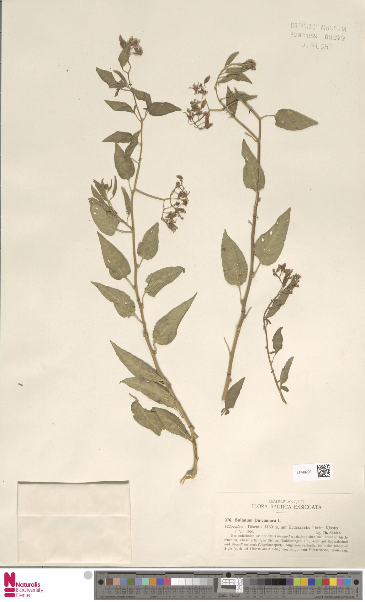 U.1740290 | Solanum dulcamara L.