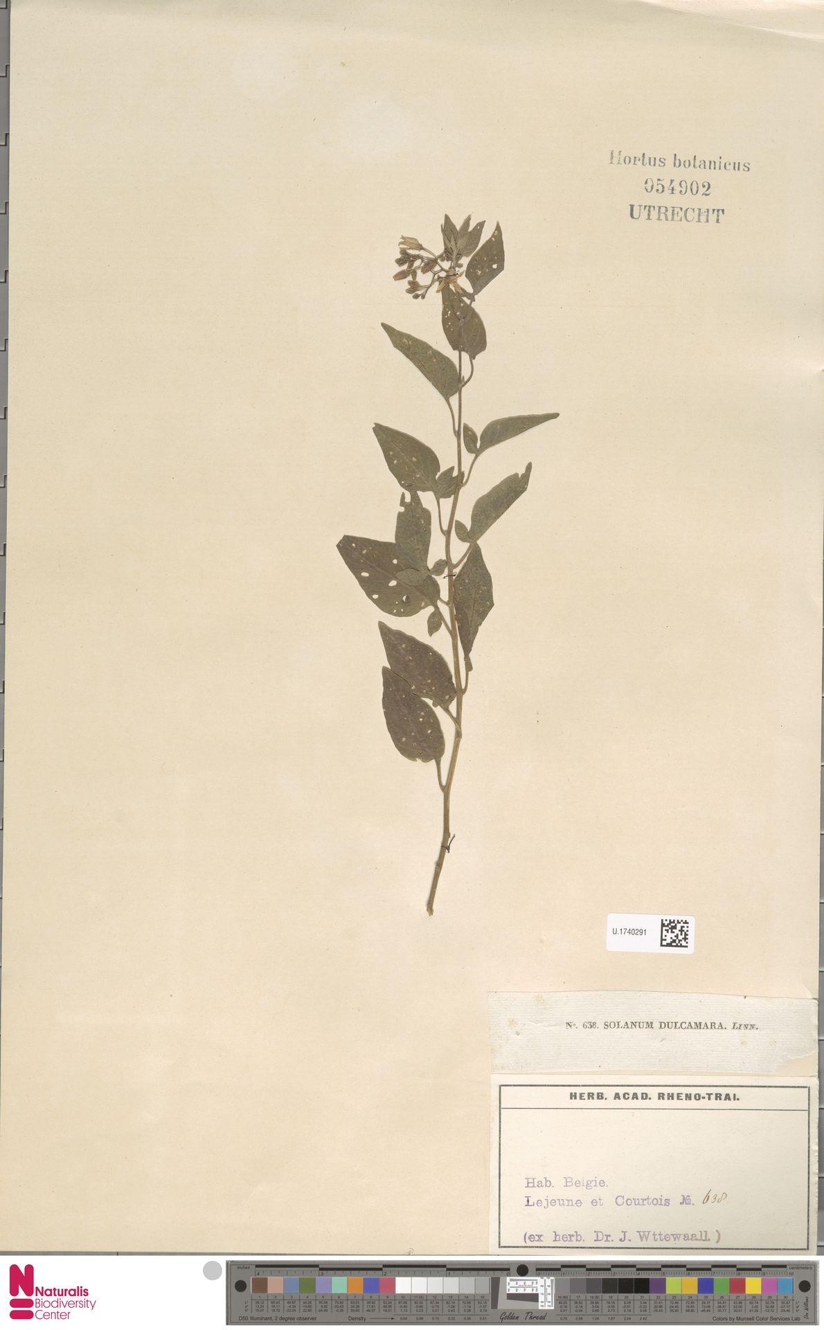 U.1740291 | Solanum dulcamara L.
