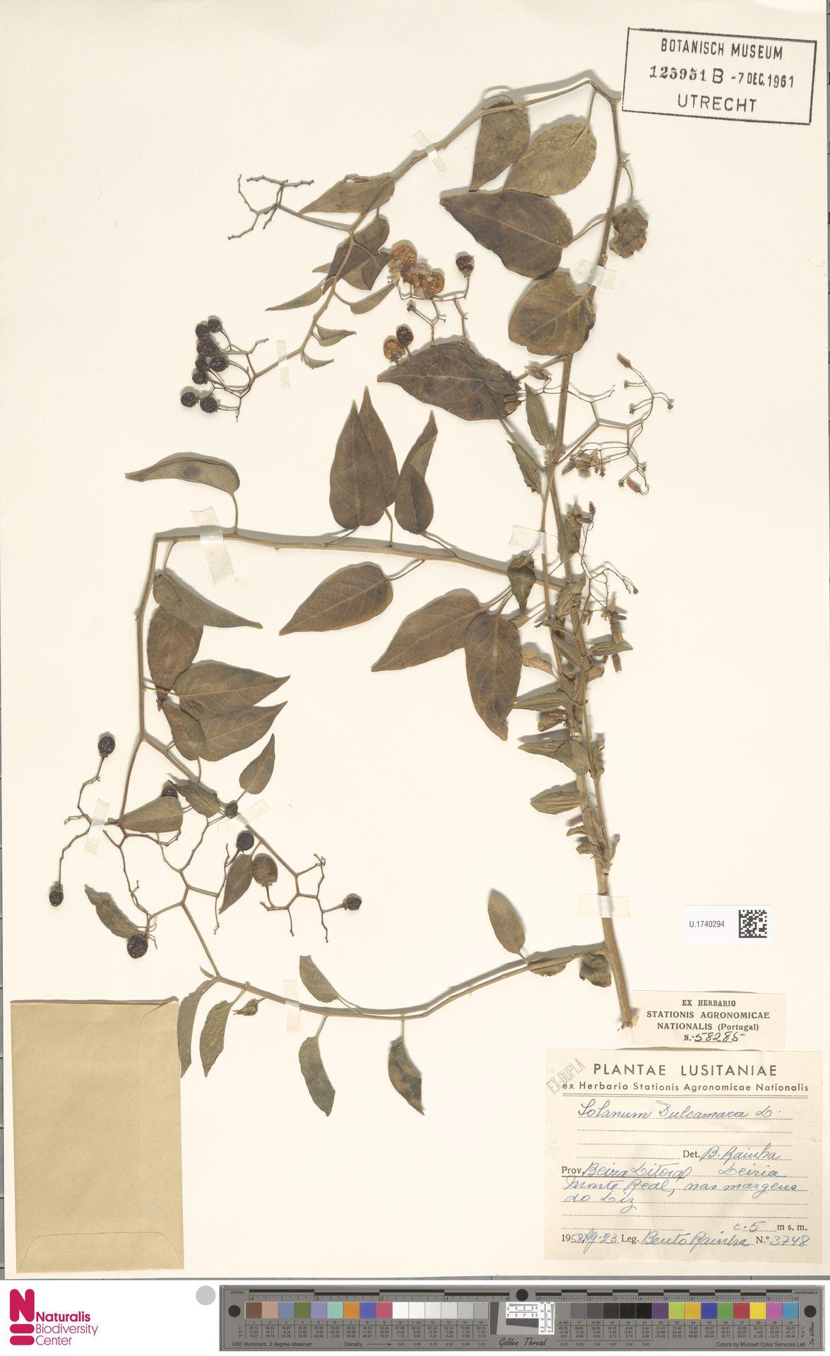 U.1740294 | Solanum dulcamara L.