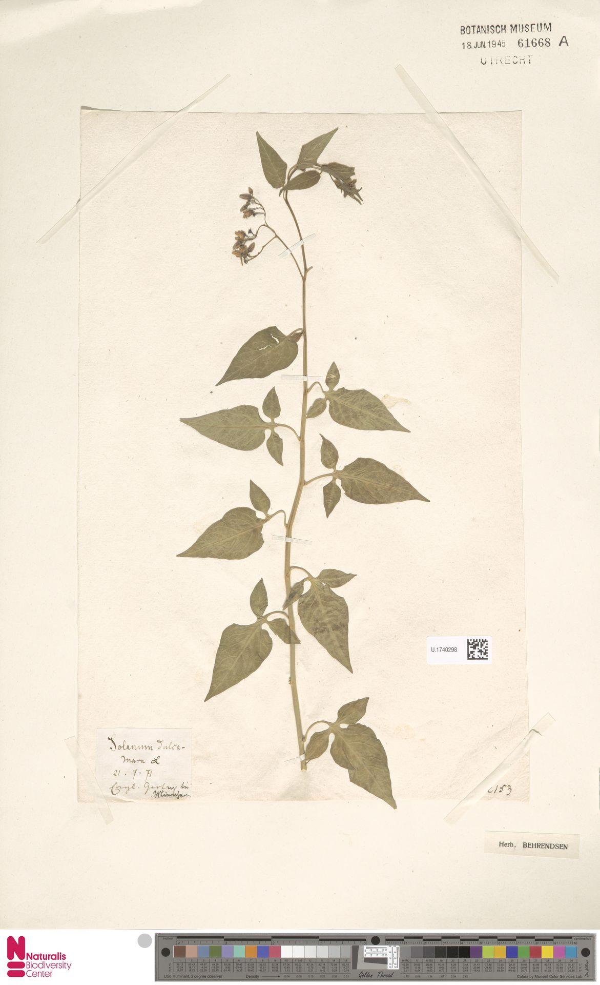 U.1740298 | Solanum dulcamara L.