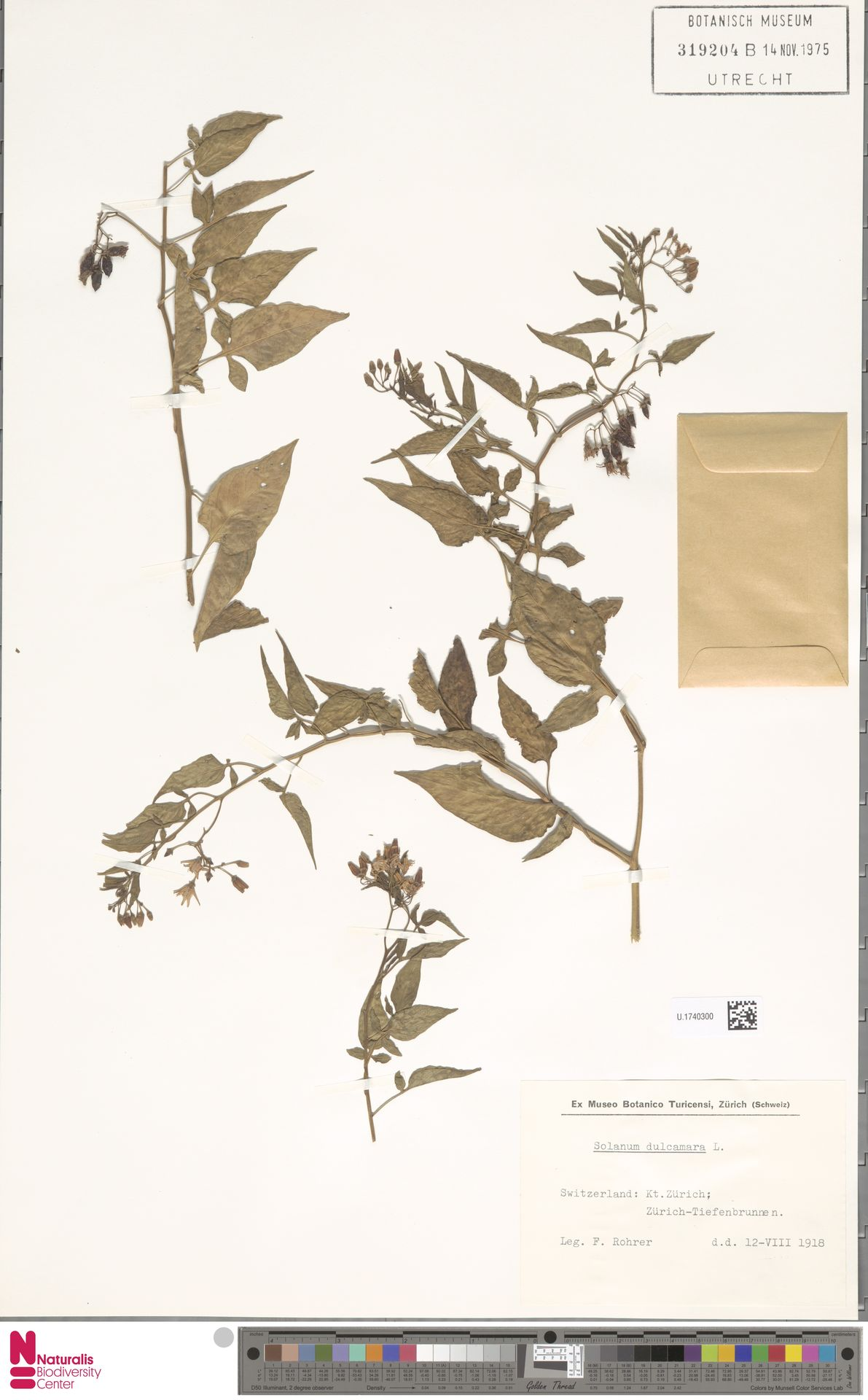 U.1740300 | Solanum dulcamara L.