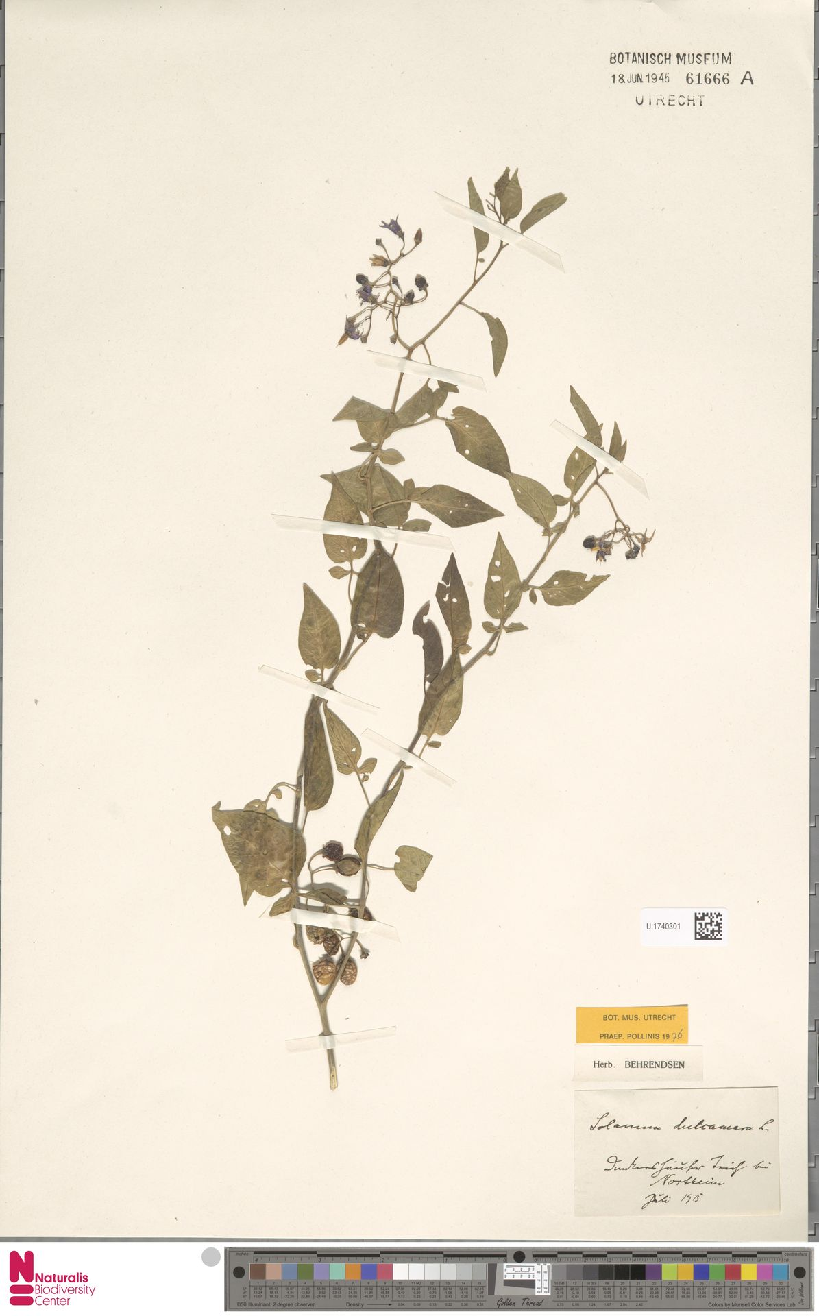 U.1740301 | Solanum dulcamara L.