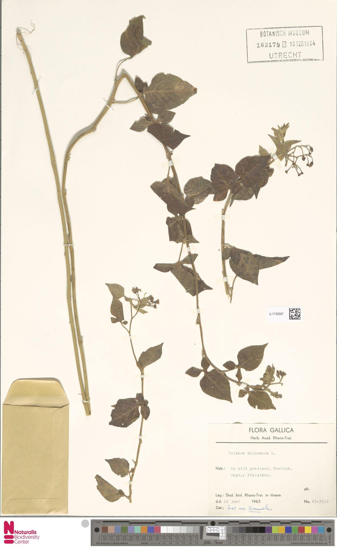 U.1740307 | Solanum dulcamara L.