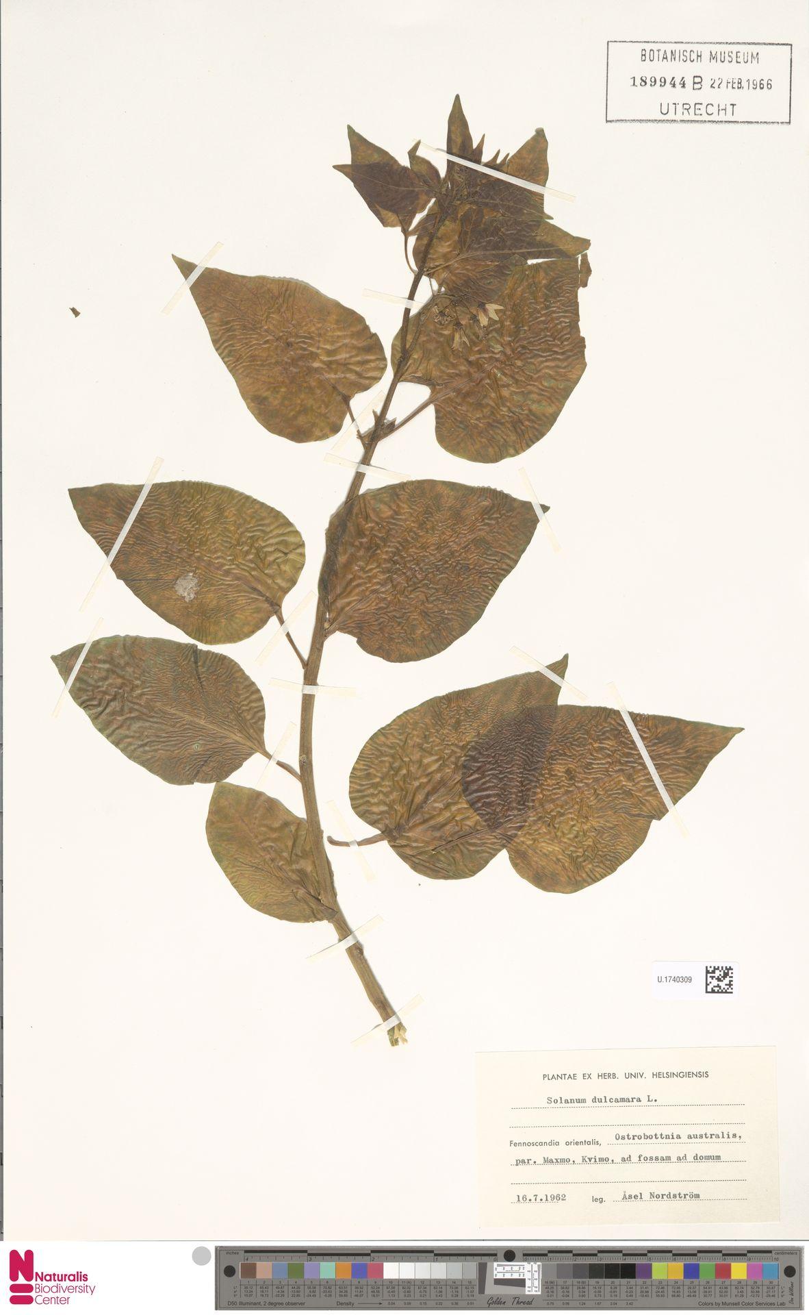 U.1740309 | Solanum dulcamara L.