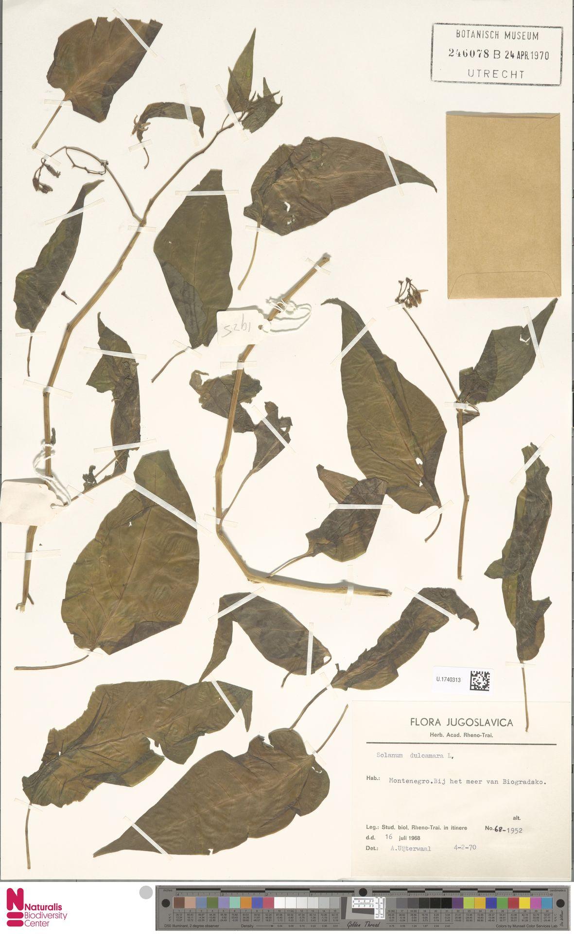 U.1740313 | Solanum dulcamara L.
