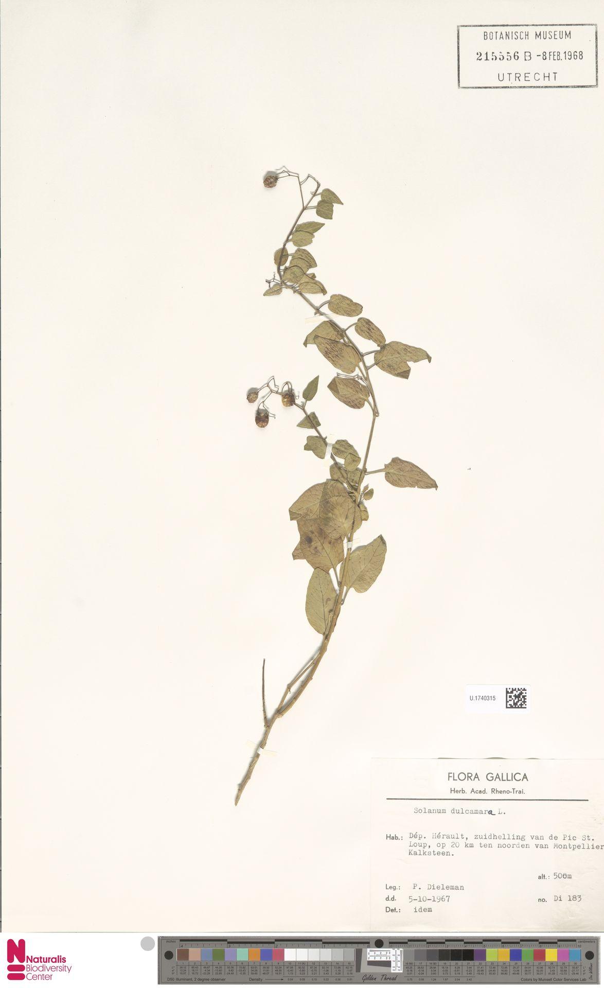 U.1740315 | Solanum dulcamara L.