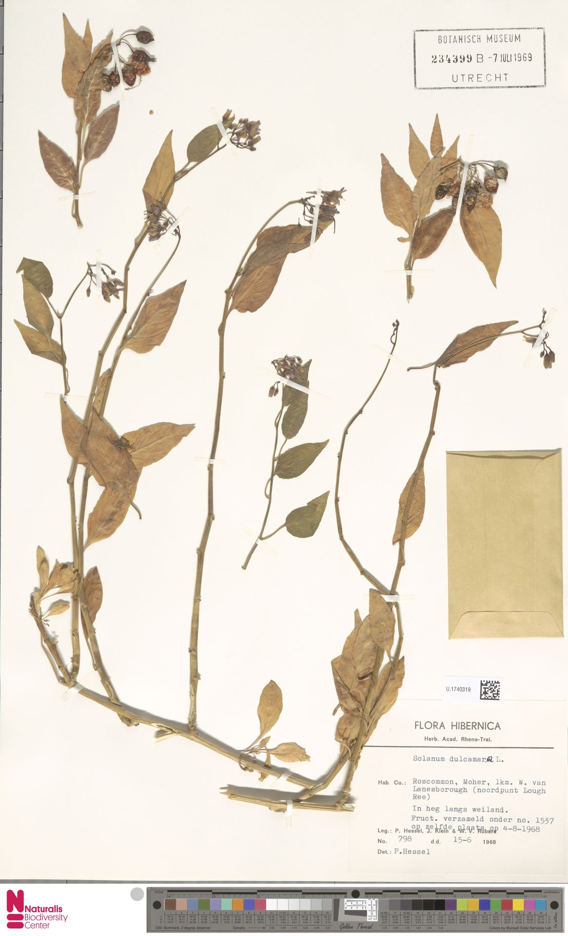 U.1740319   Solanum dulcamara L.