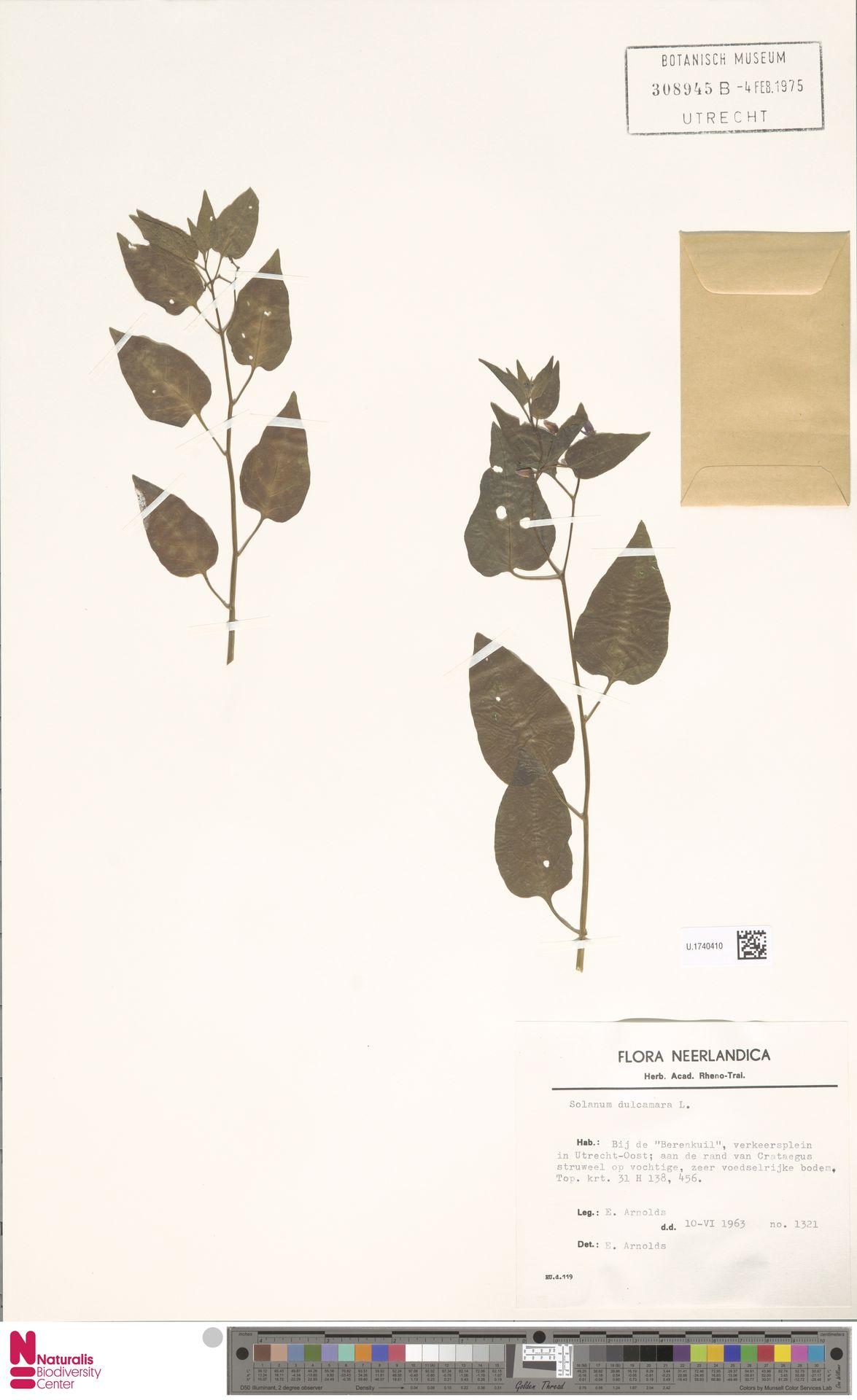 U.1740410 | Solanum dulcamara L.