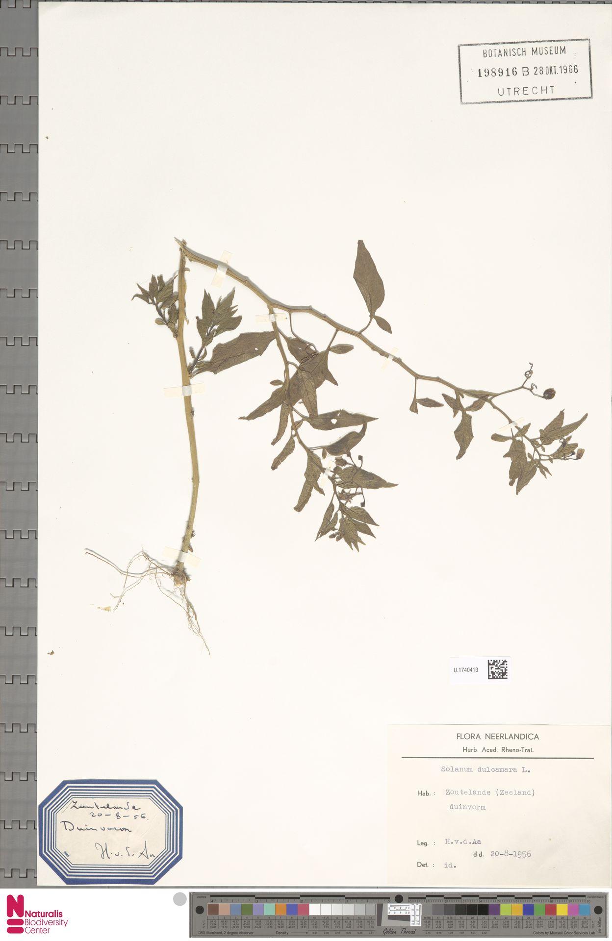 U.1740413   Solanum dulcamara L.