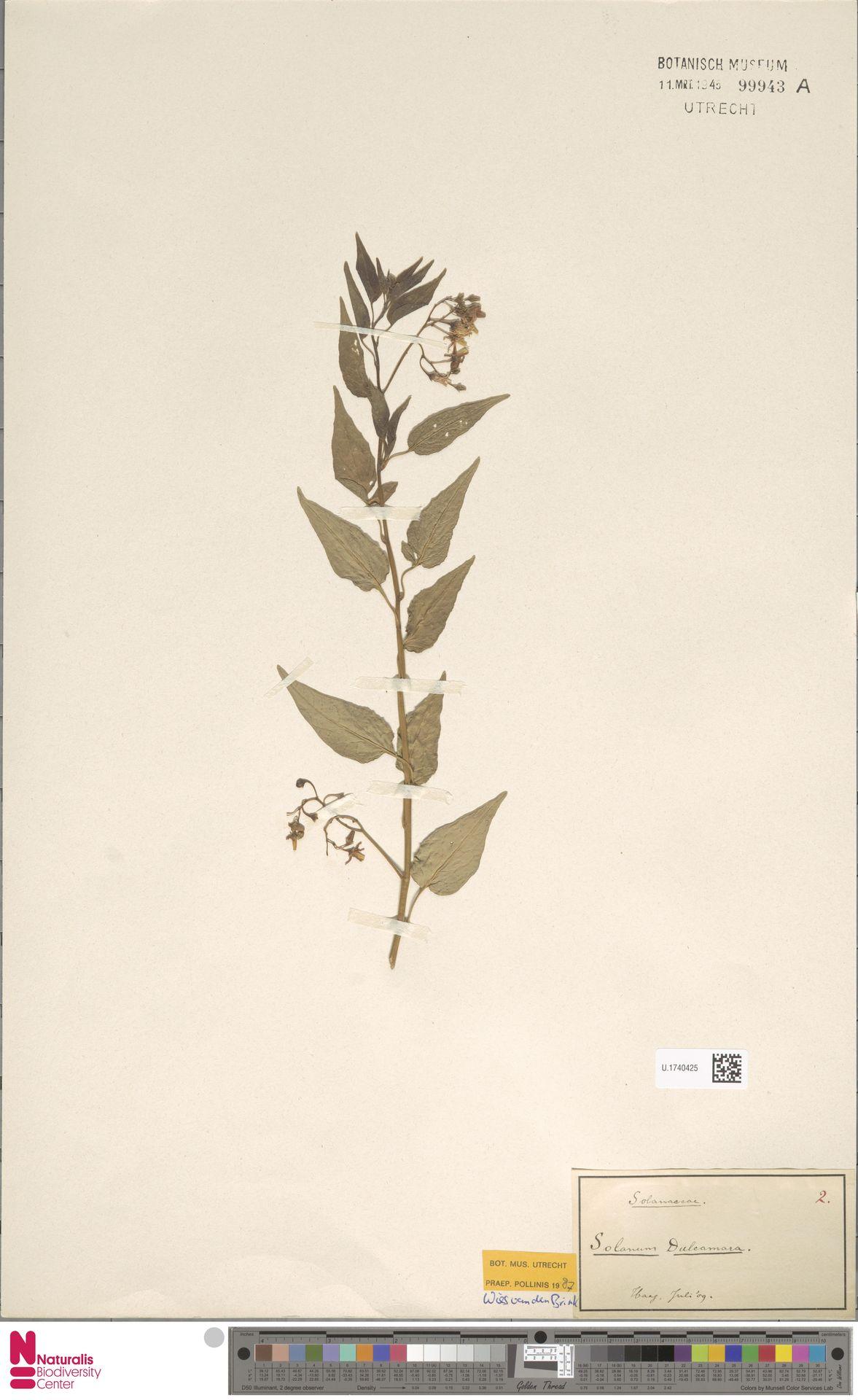 U.1740425 | Solanum dulcamara L.