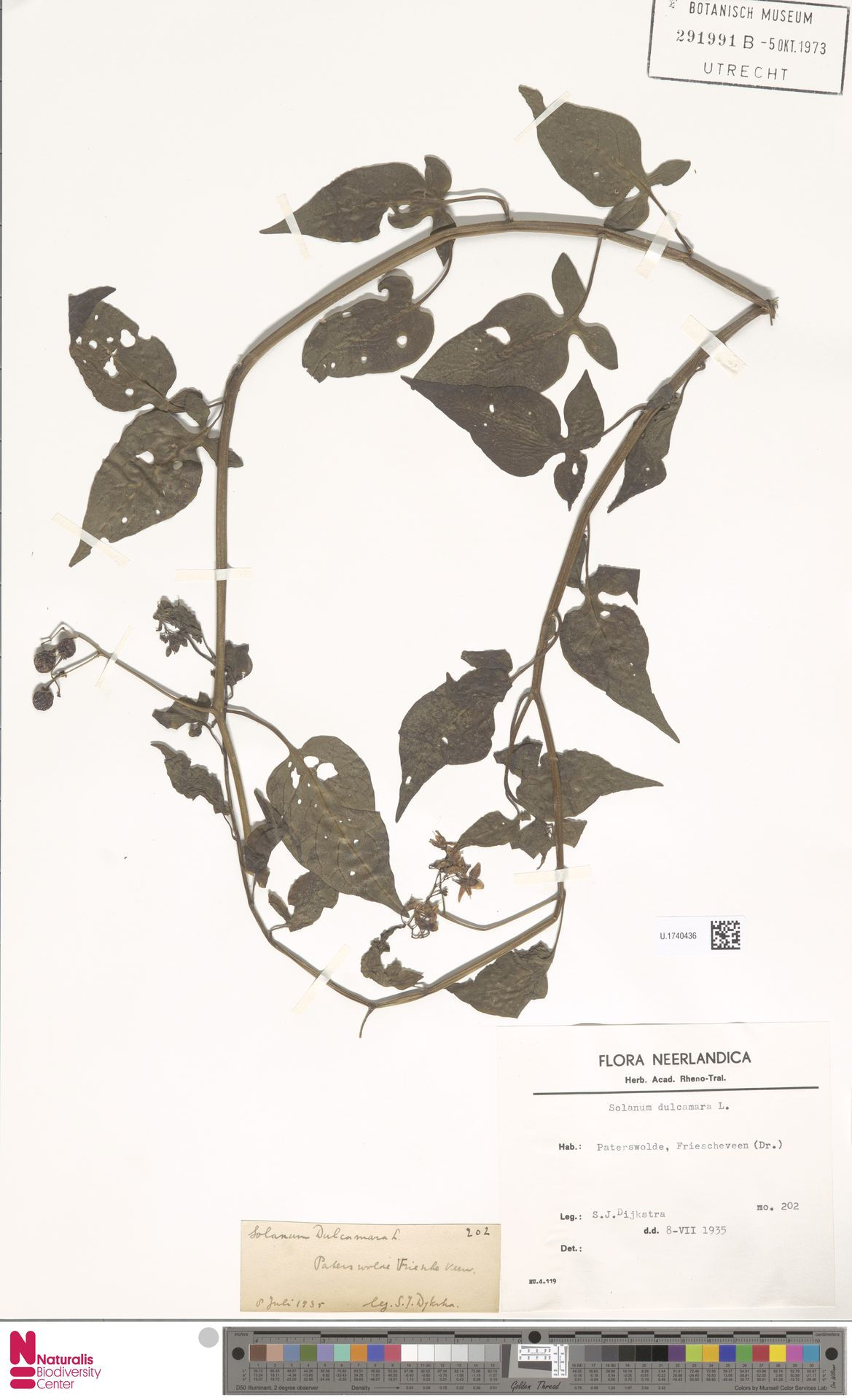 U.1740436 | Solanum dulcamara L.