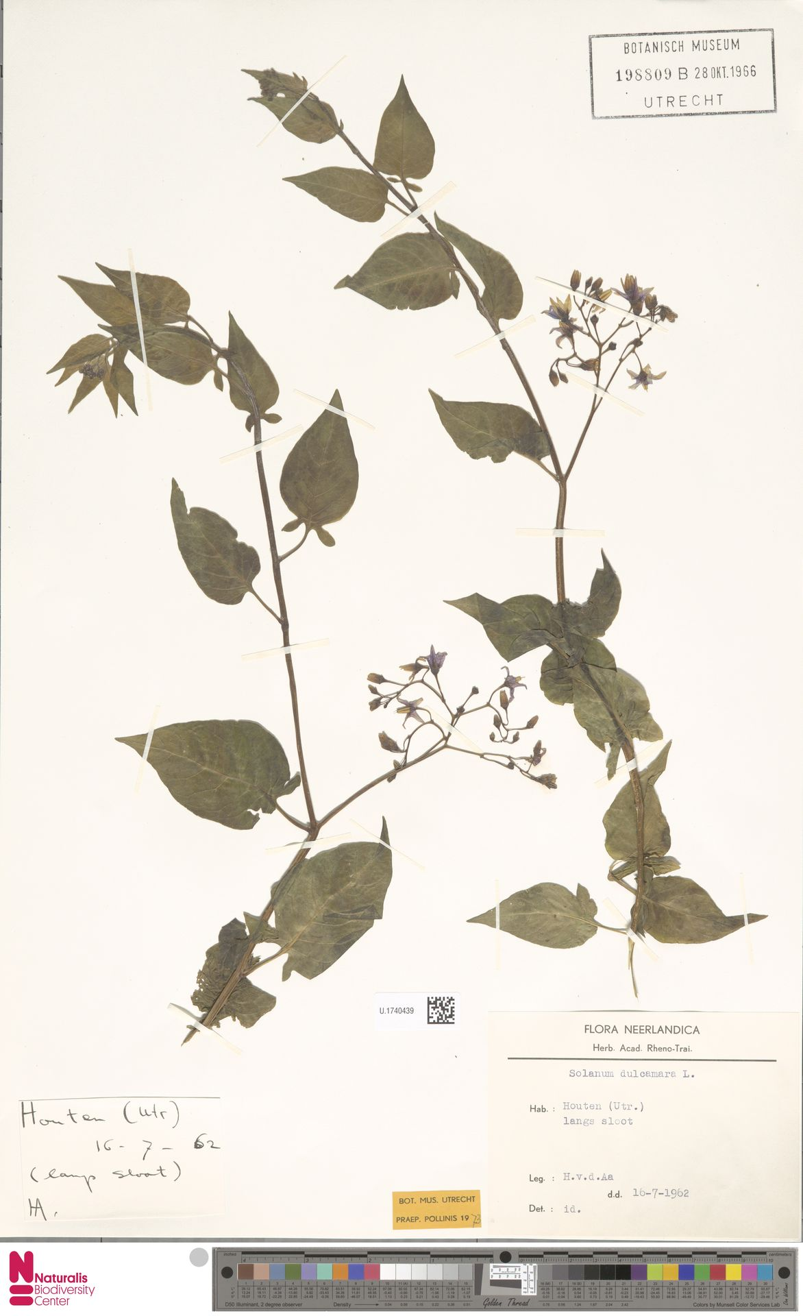 U.1740439 | Solanum dulcamara L.