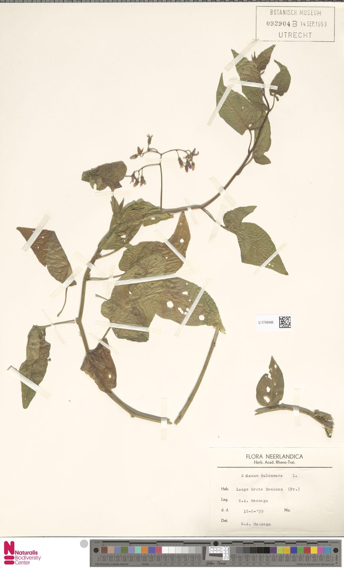 U.1740446 | Solanum dulcamara L.