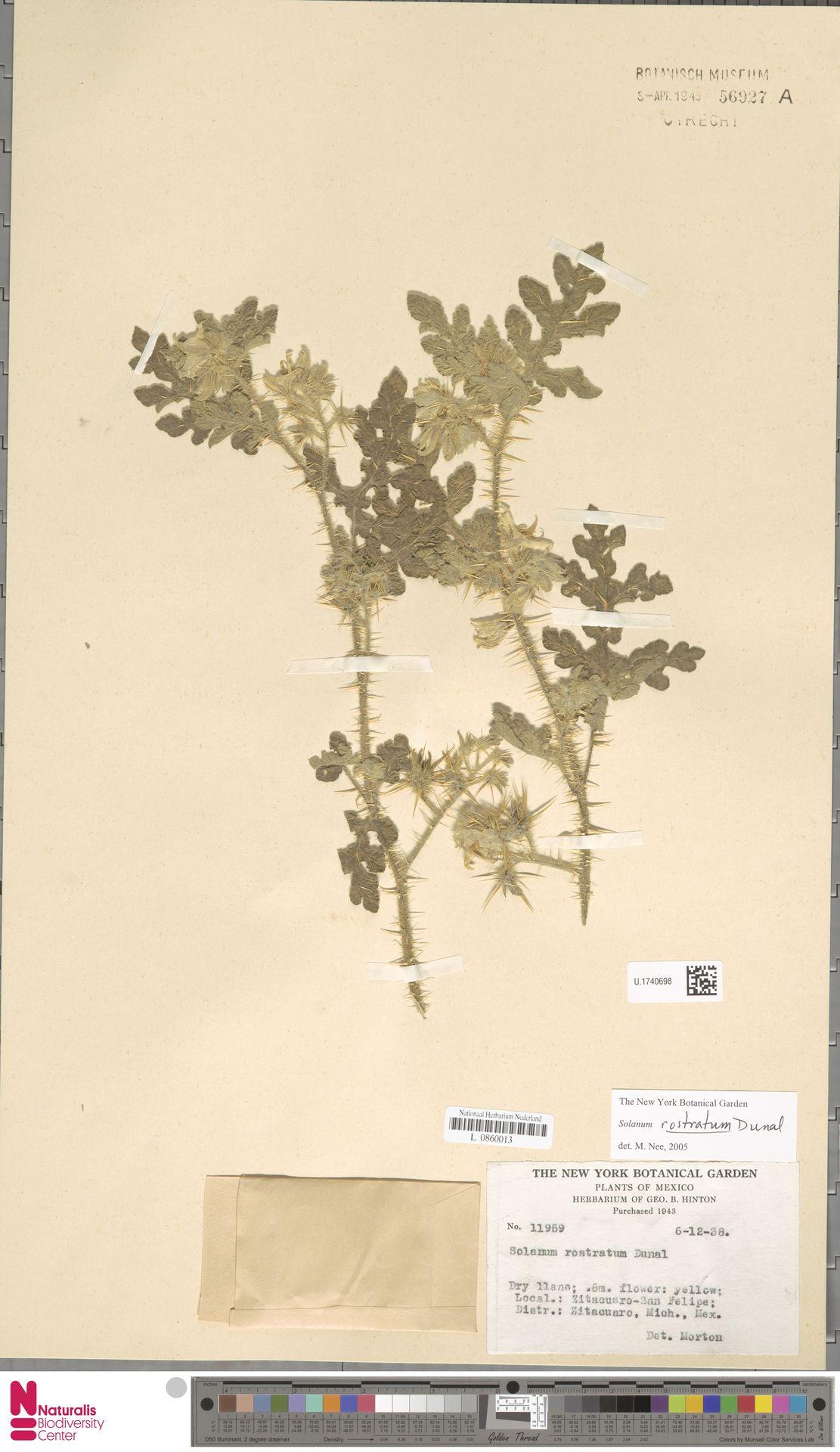 U.1740698 | Solanum rostratum Dunal