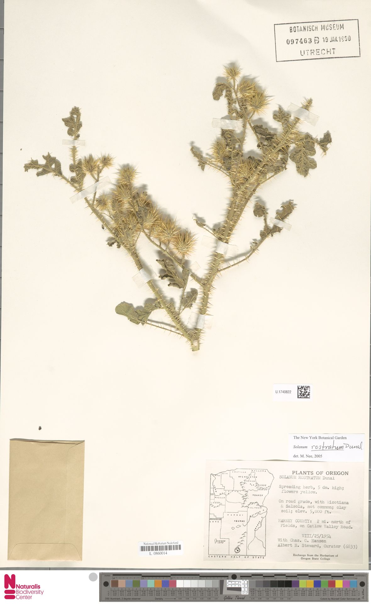 U.1740822 | Solanum rostratum Dunal