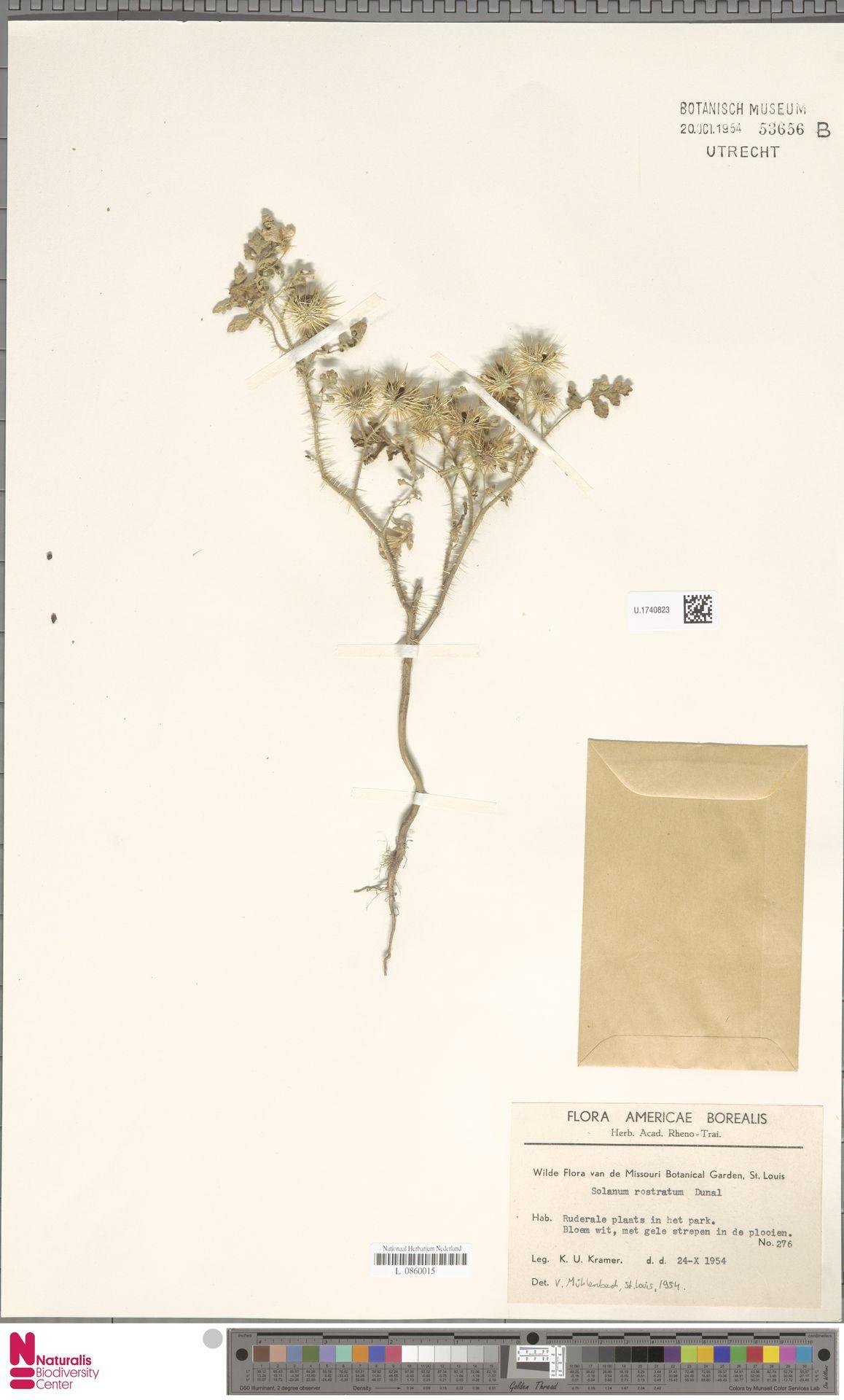 U.1740823 | Solanum rostratum Dunal