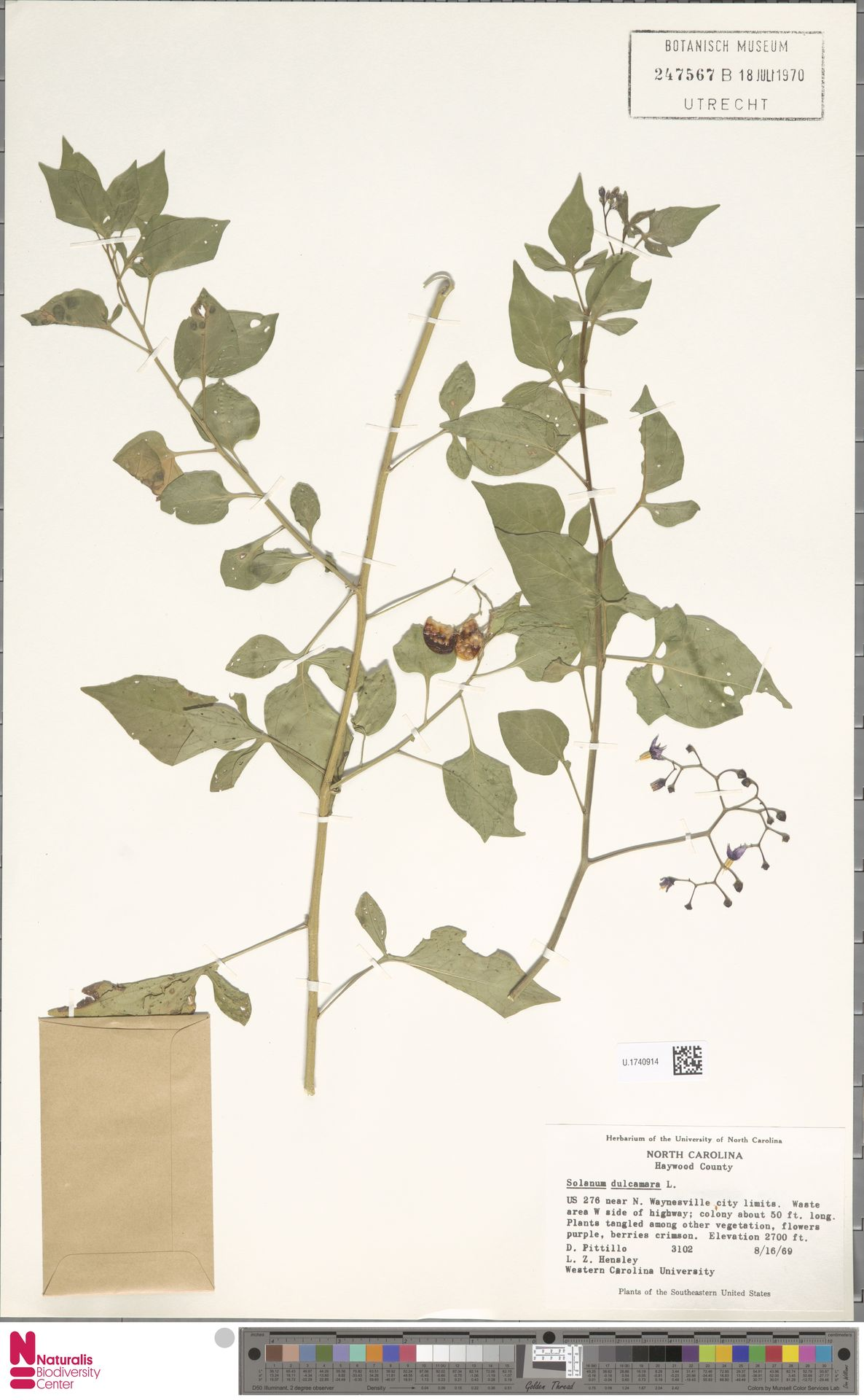 U.1740914 | Solanum dulcamara L.