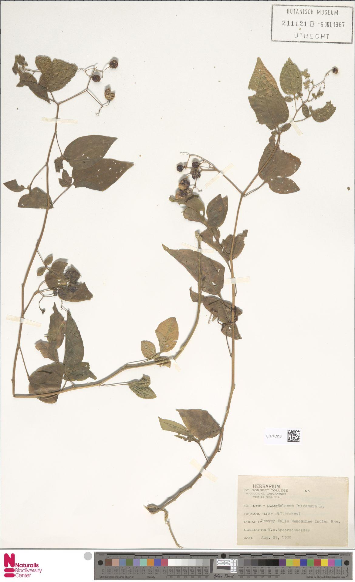 U.1740918 | Solanum dulcamara L.