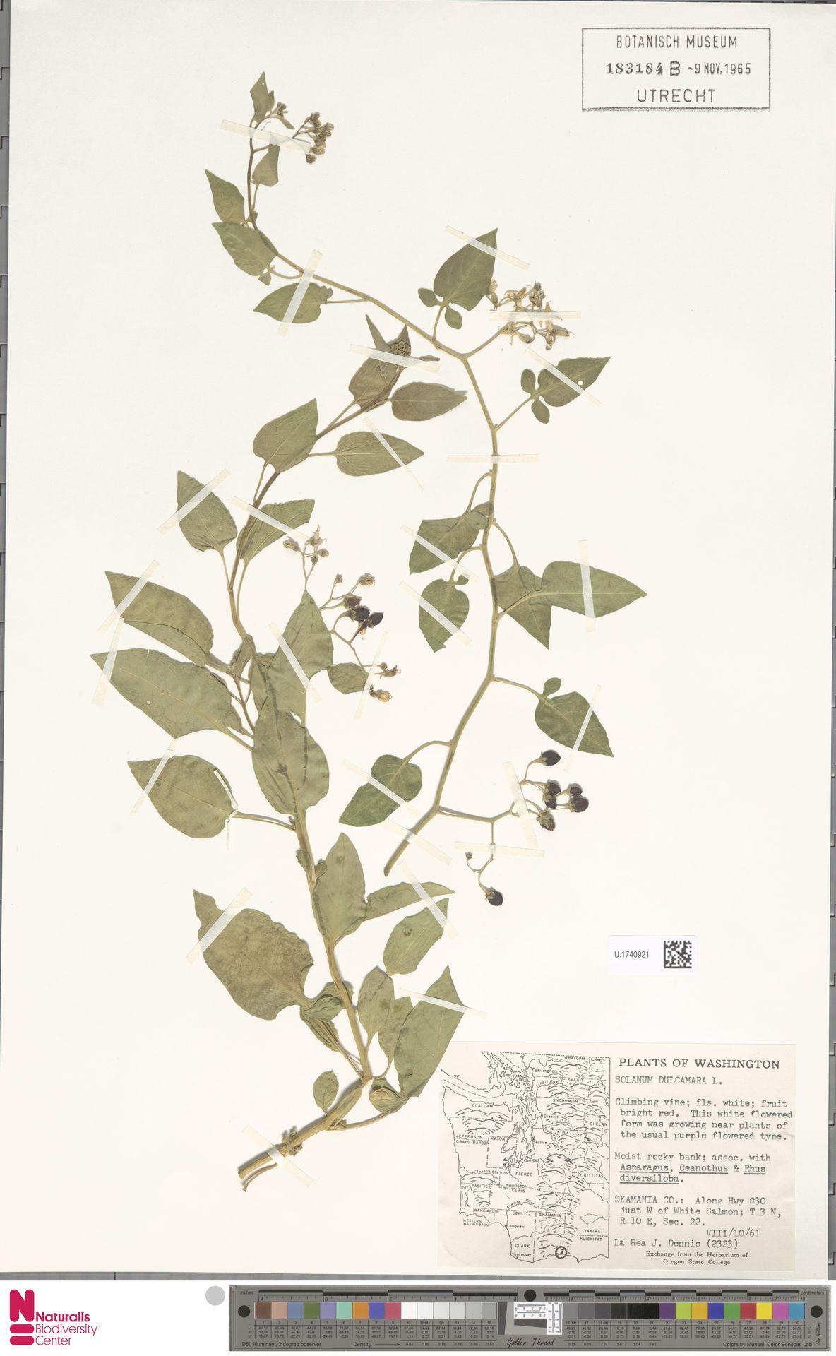 U.1740921 | Solanum dulcamara L.