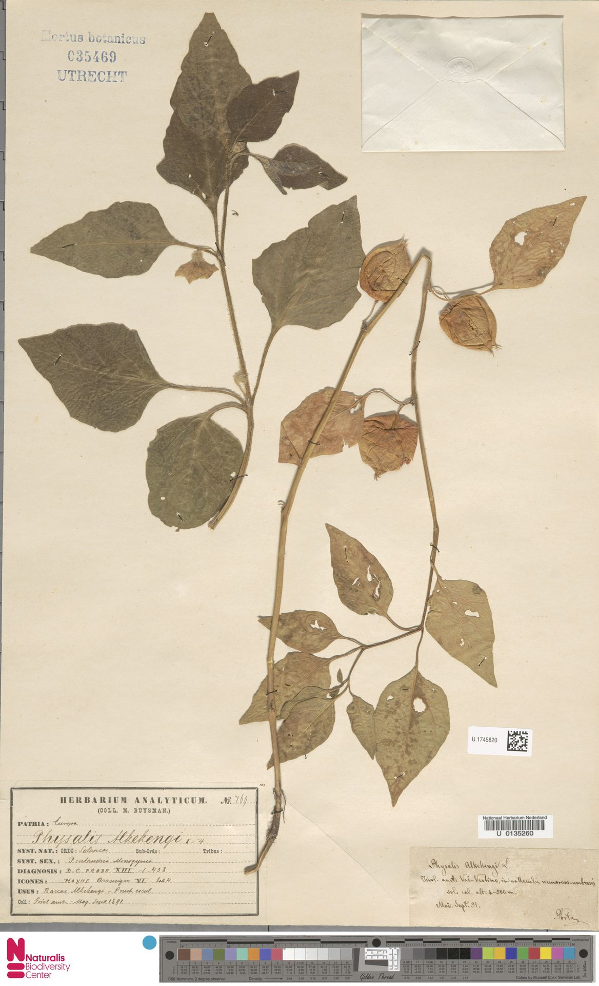 U.1745820 | Physalis alkekengi L.