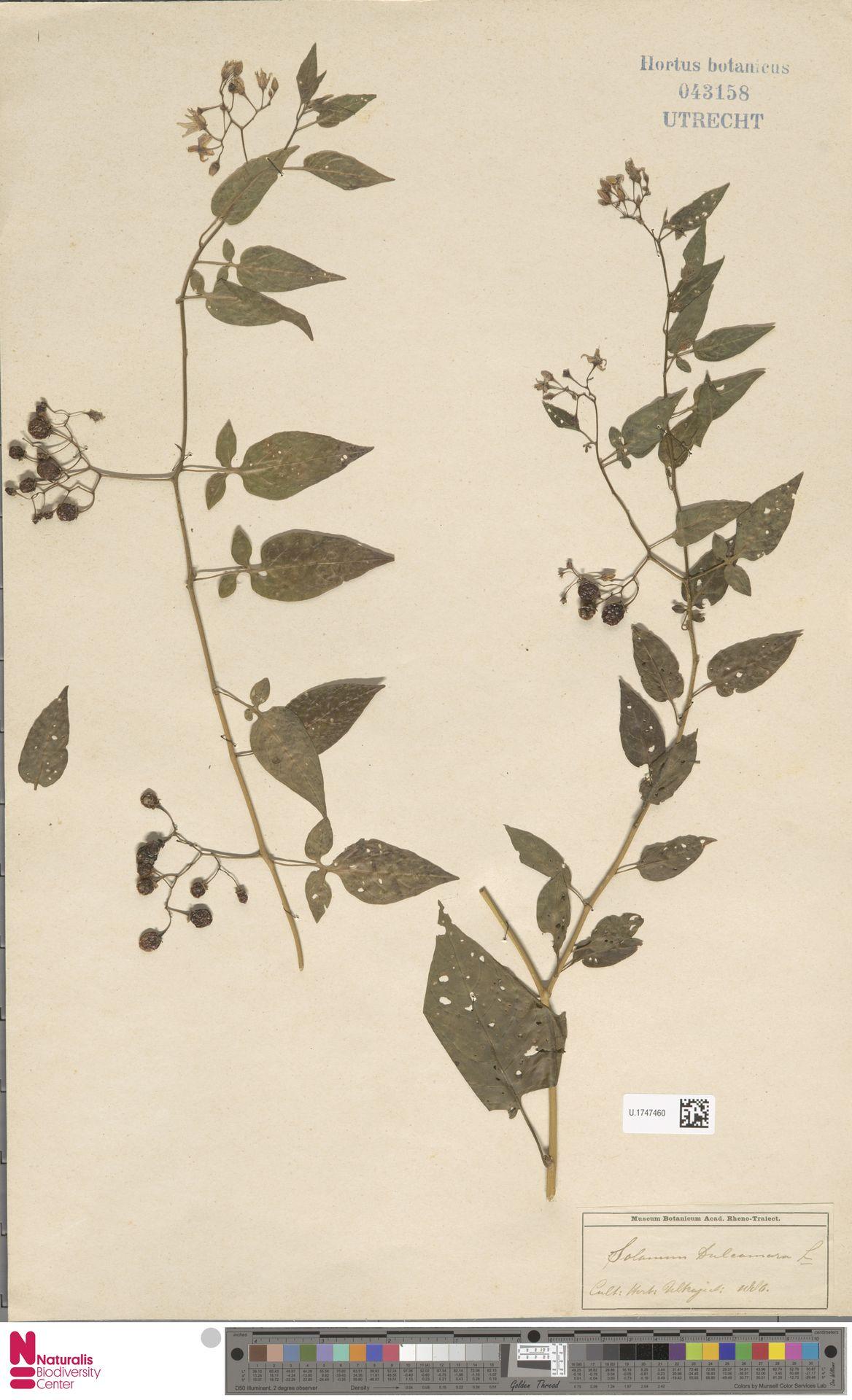 U.1747460 | Solanum dulcamara L.