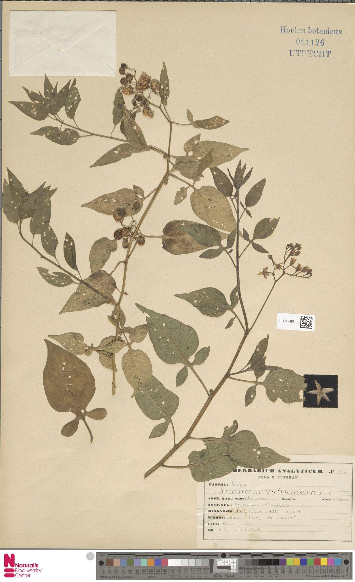 U.1747463 | Solanum dulcamara L.