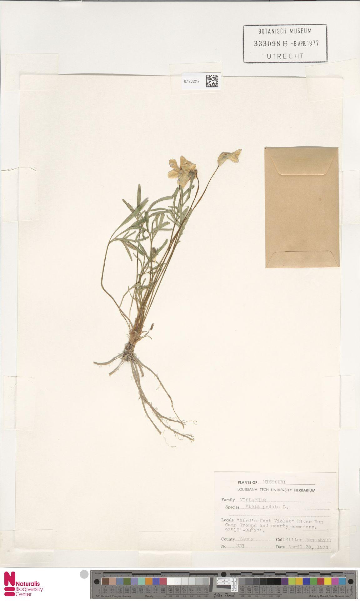 U.1765217 | Viola pedata L.