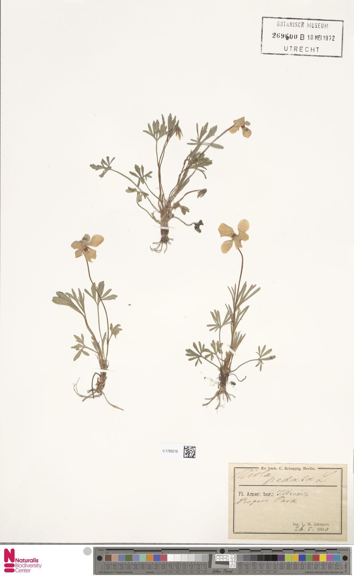 U.1765219 | Viola pedata L.