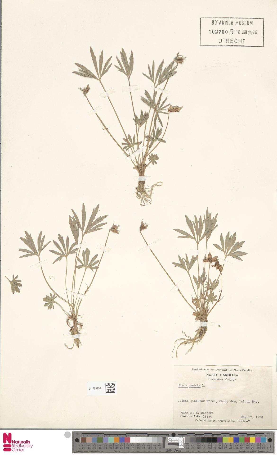 U.1765220 | Viola pedata L.