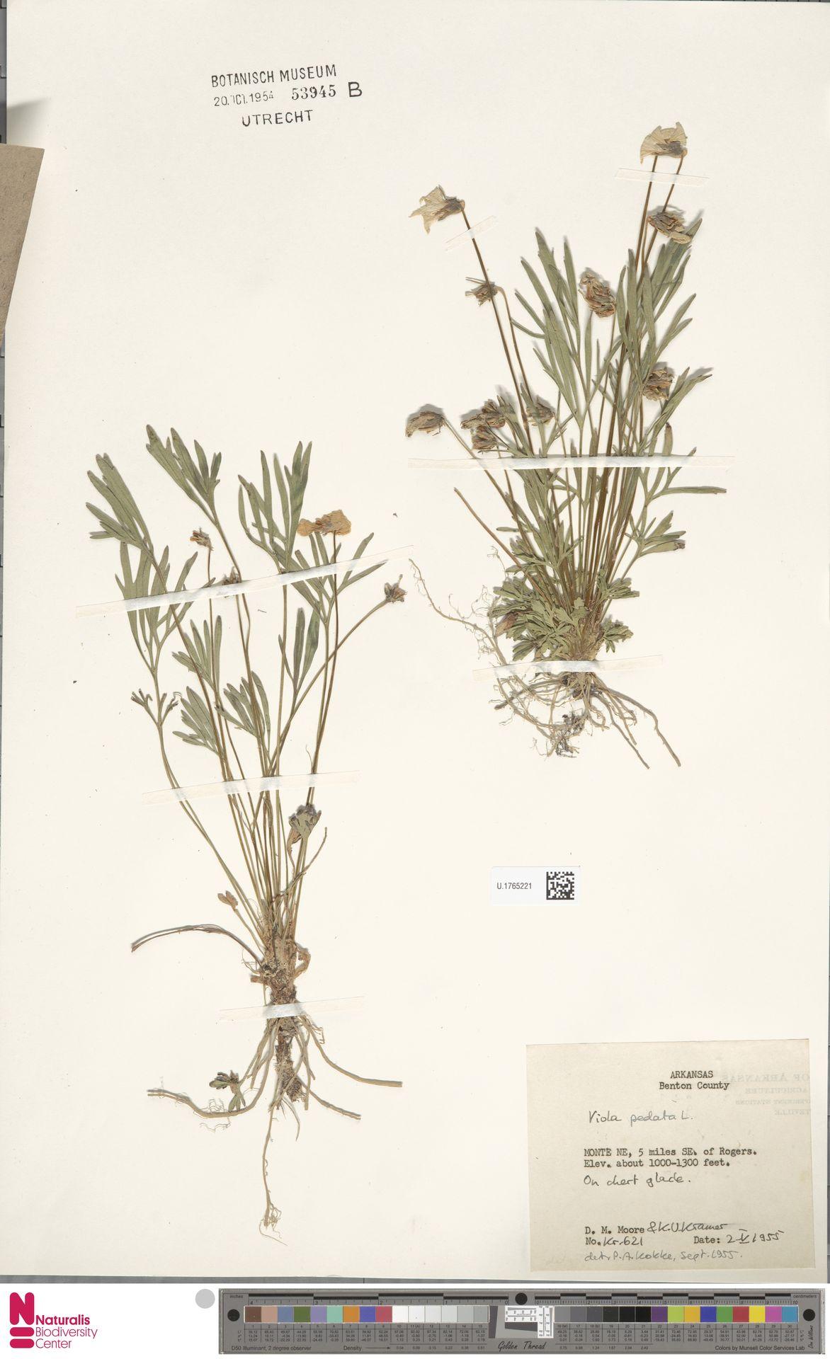 U.1765221 | Viola pedata L.