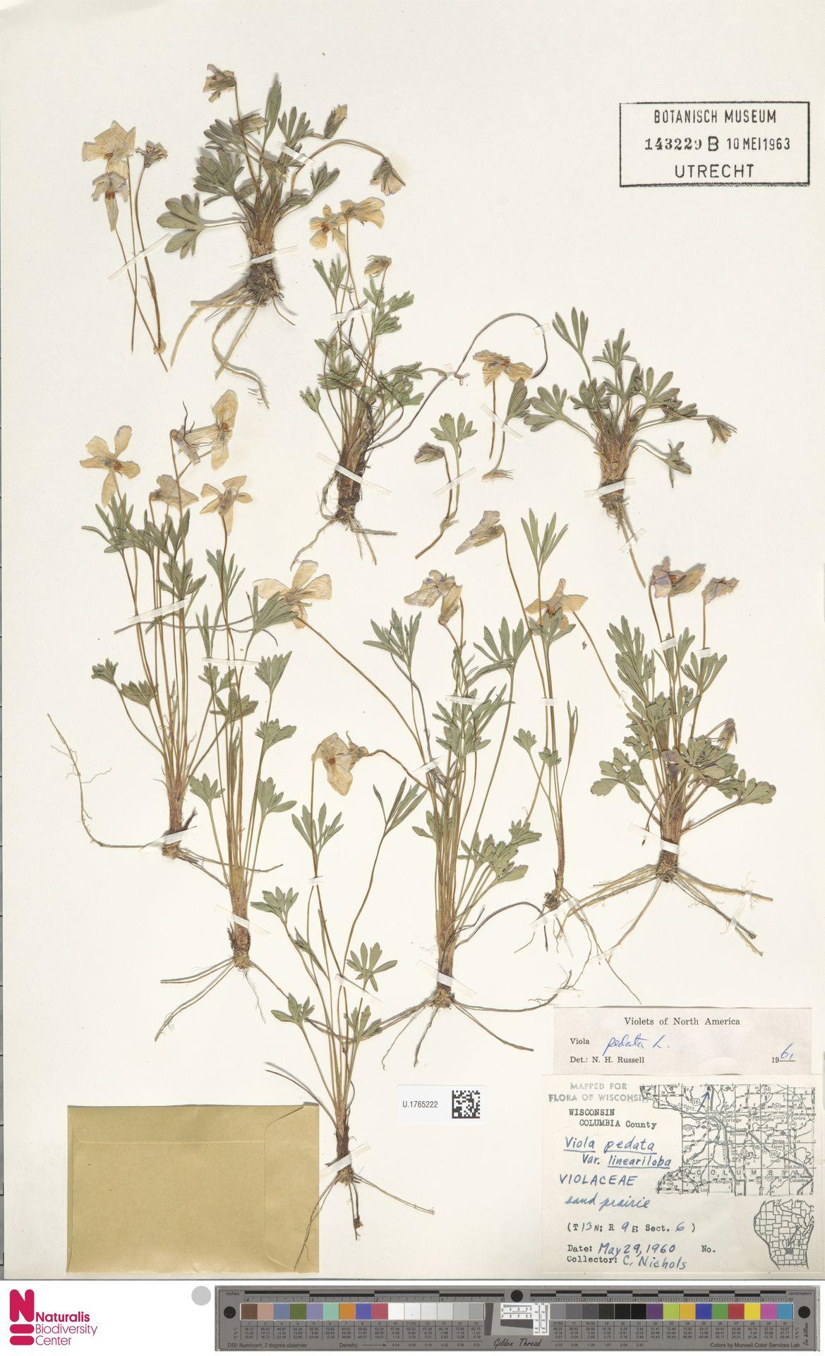 U.1765222 | Viola pedata L.