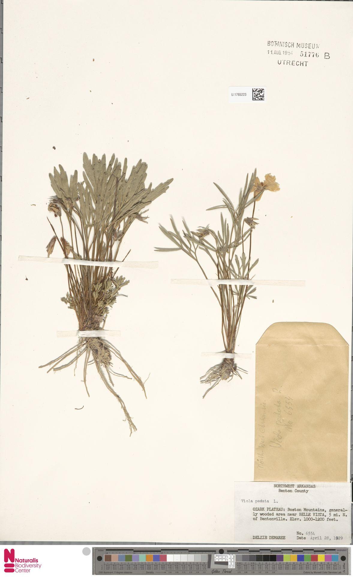 U.1765223 | Viola pedata L.