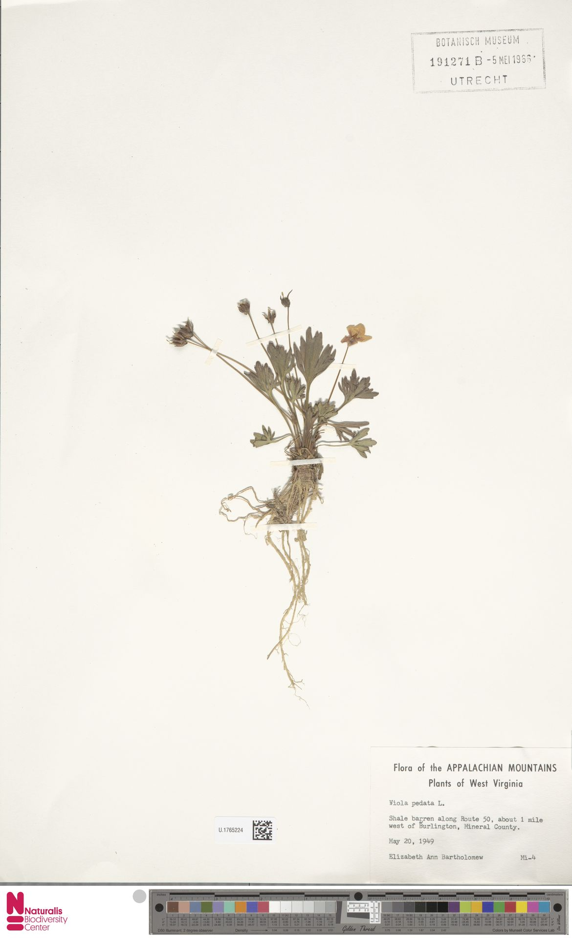 U.1765224 | Viola pedata L.