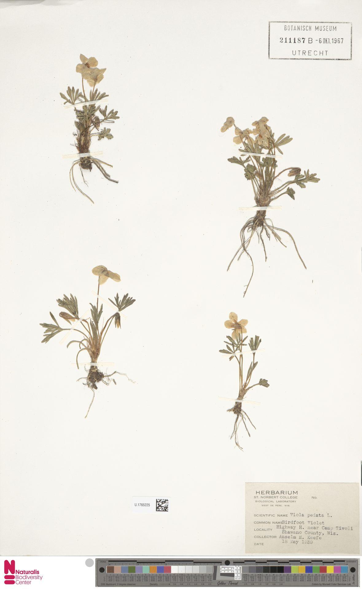 U.1765225 | Viola pedata L.